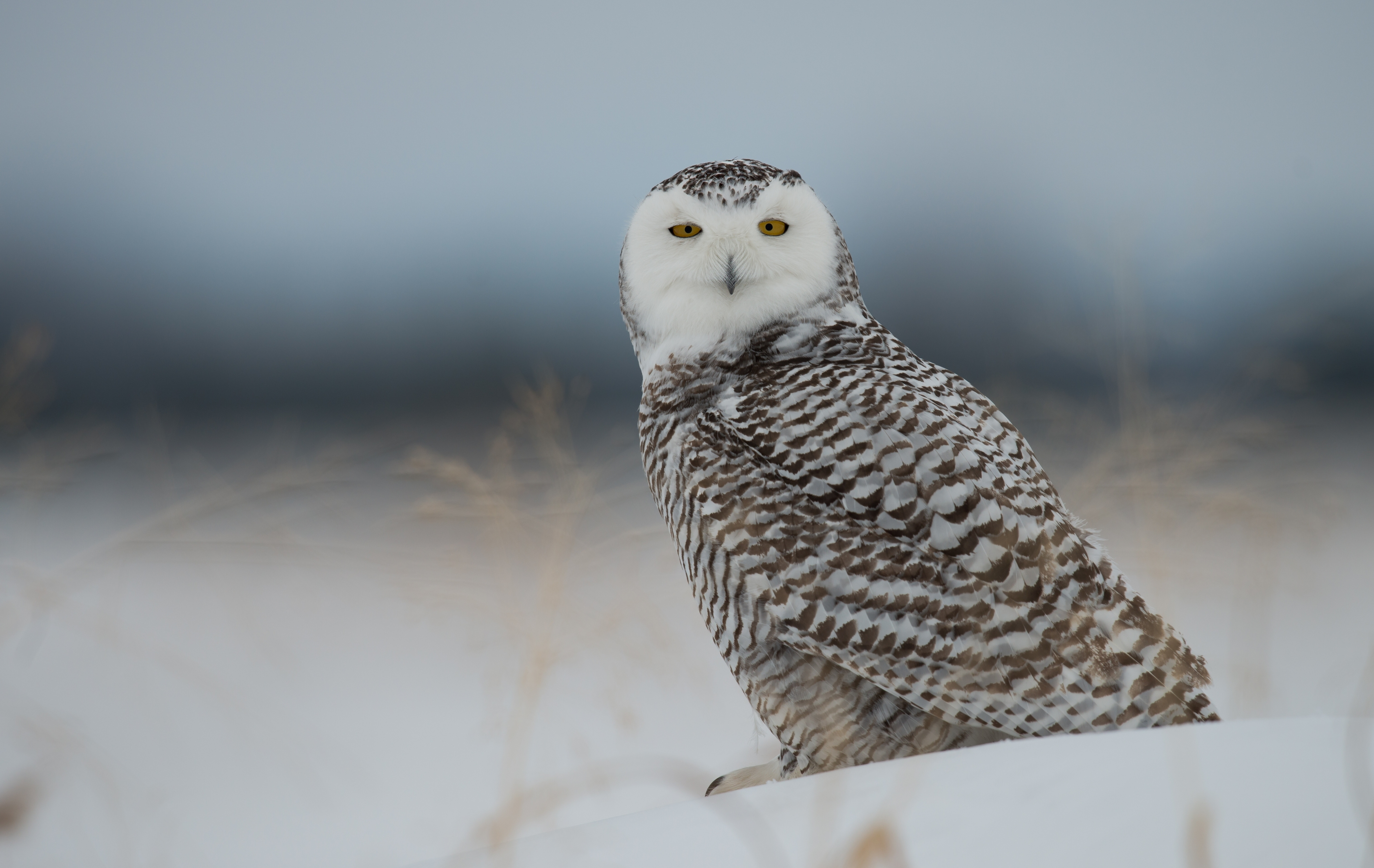 104878 Screensavers and Wallpapers Owl for phone. Download Animals, Polar Owl, Owl, Predator, Bird, Snow pictures for free