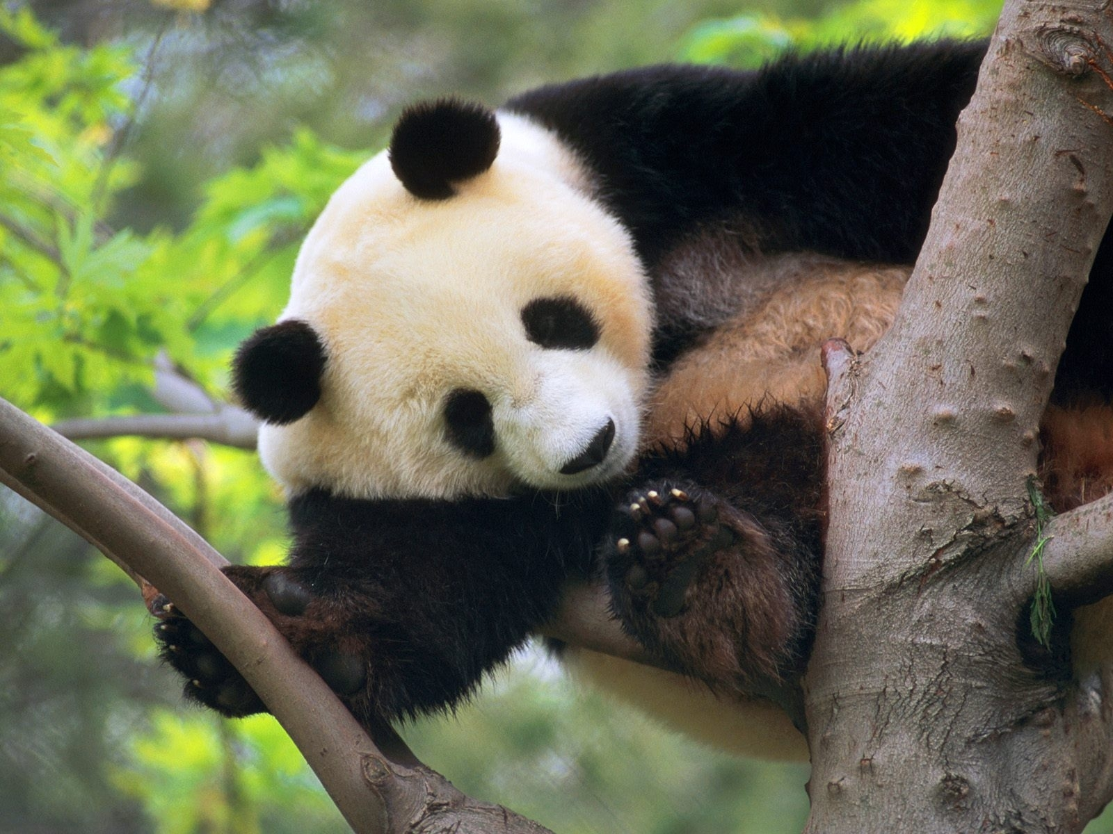 1962 download wallpaper Animals, Bears, Pandas screensavers and pictures for free
