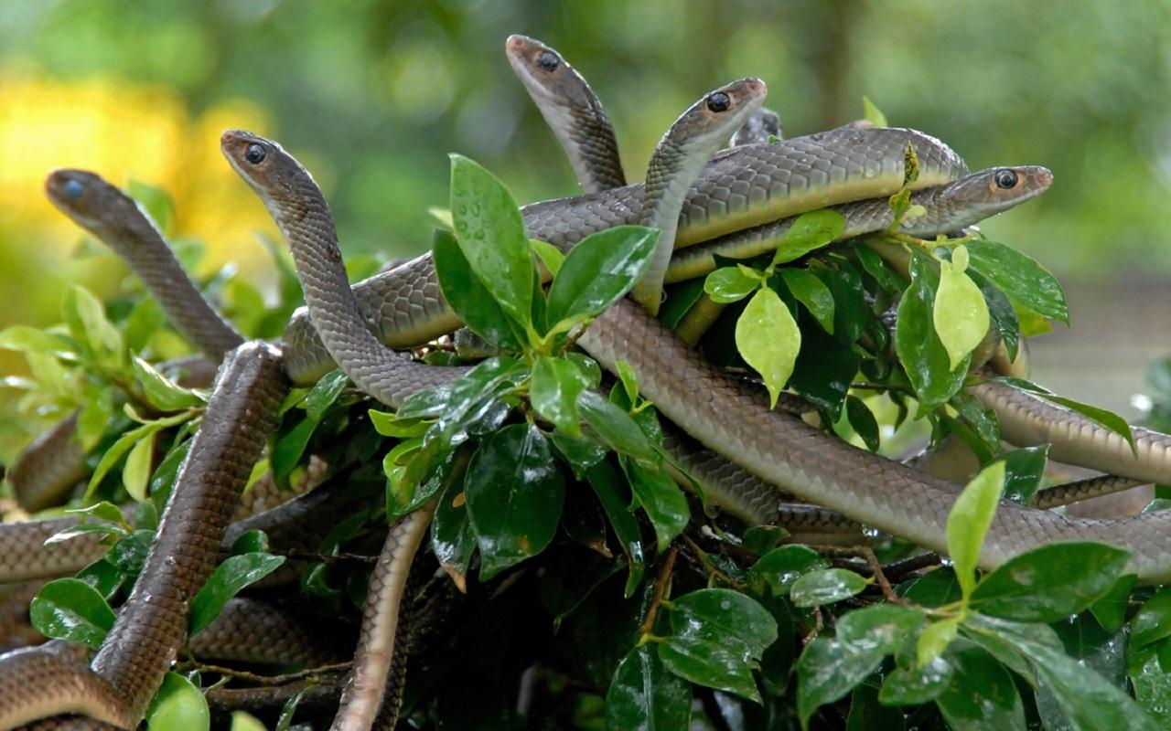 30899 скачать обои Змеи, Животные - заставки и картинки бесплатно