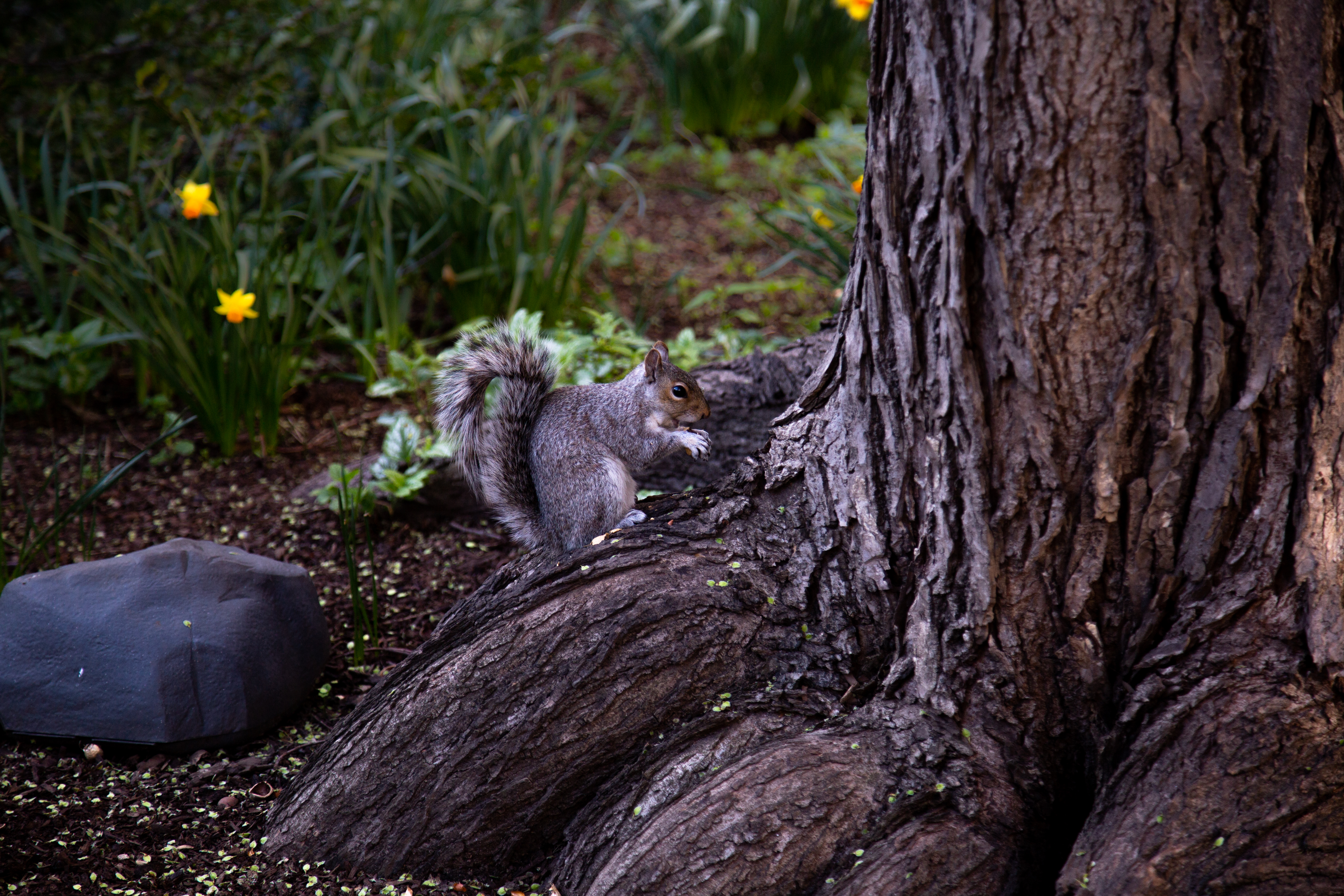 149134 download wallpaper Animals, Squirrel, Animal, Brown, Rodent, Wood, Tree screensavers and pictures for free