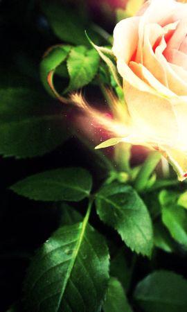 52610 télécharger le fond d'écran Abstrait, Une Rose, Rose, Pétales, Briller, Lumière - économiseurs d'écran et images gratuitement