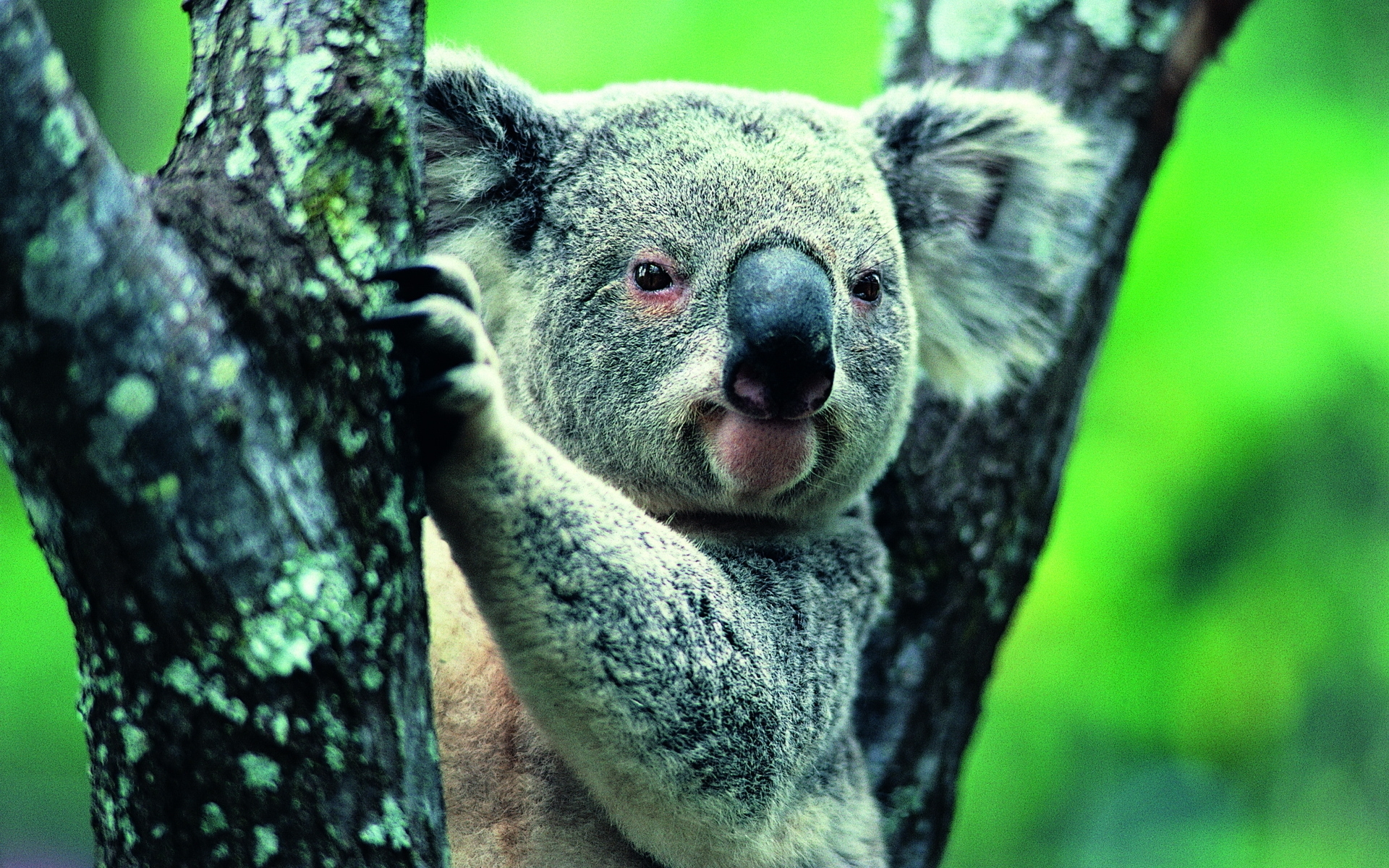 32546 download wallpaper Animals, Koalas screensavers and pictures for free