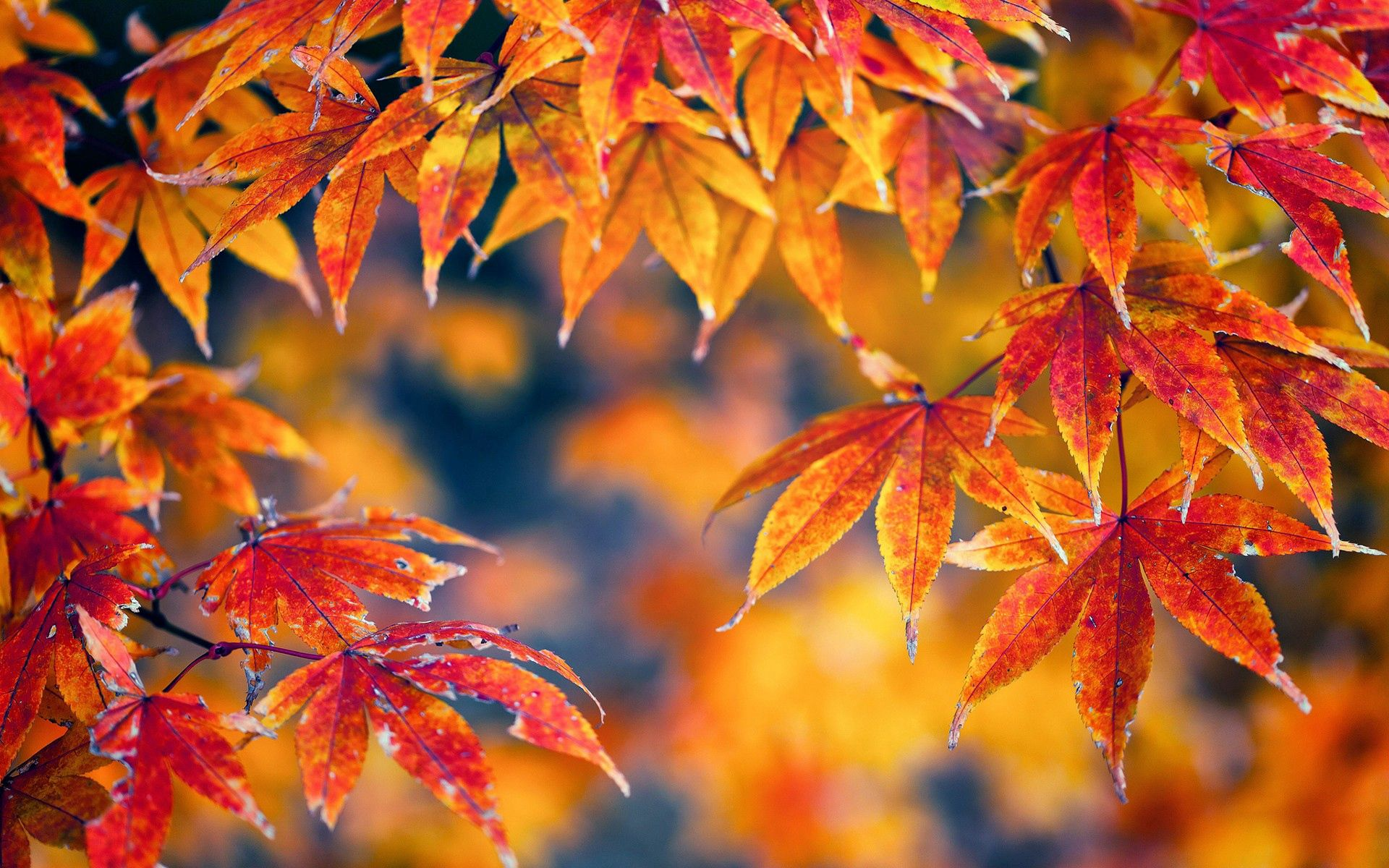 107602 download wallpaper Macro, Leaves, Maple, Light Coloured, Light, Autumn screensavers and pictures for free