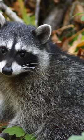8036 download wallpaper Animals, Raccoons screensavers and pictures for free