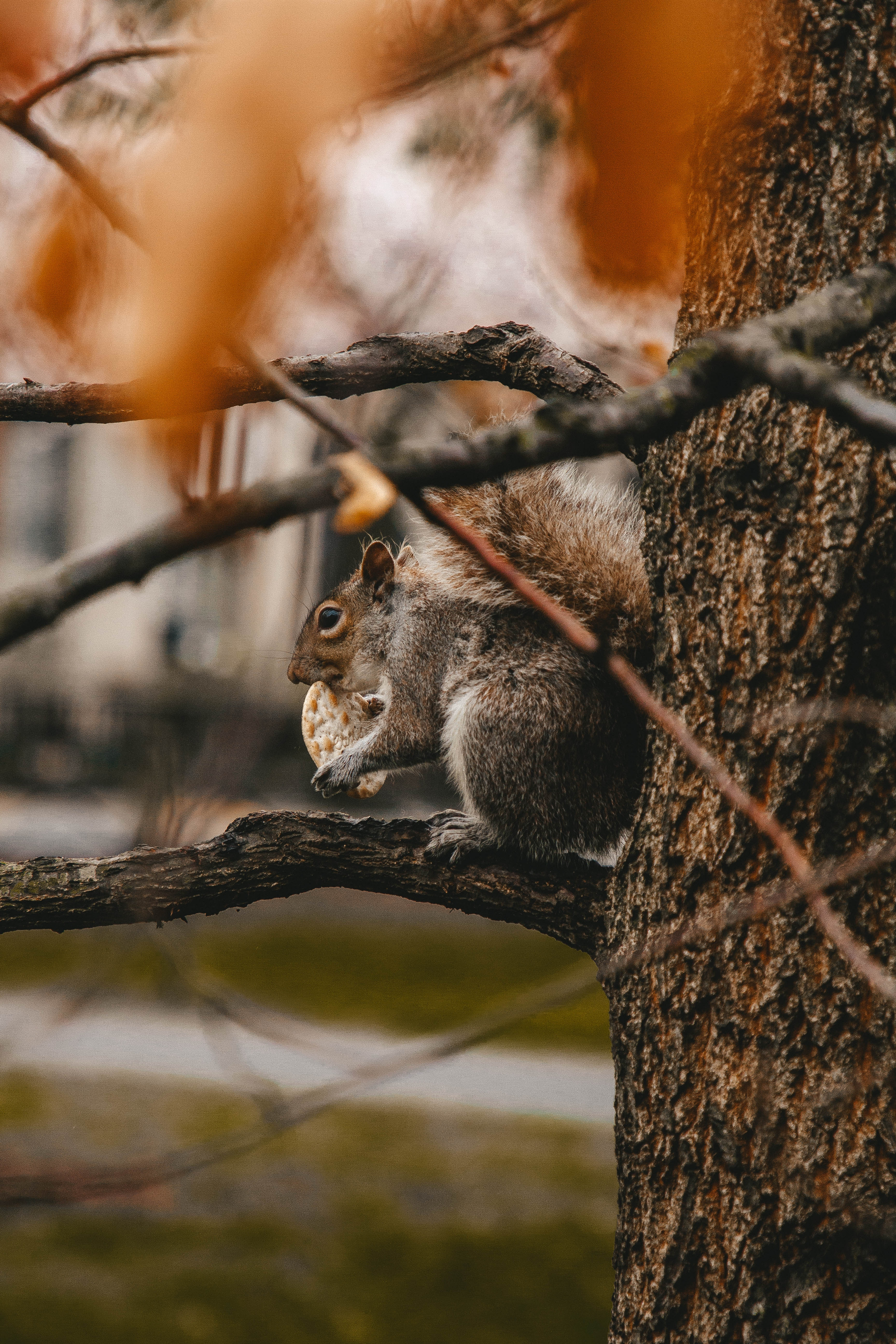 156305 Screensavers and Wallpapers Squirrel for phone. Download Animals, Squirrel, Cookies, Wood, Tree, Branches, Wildlife, Beast pictures for free
