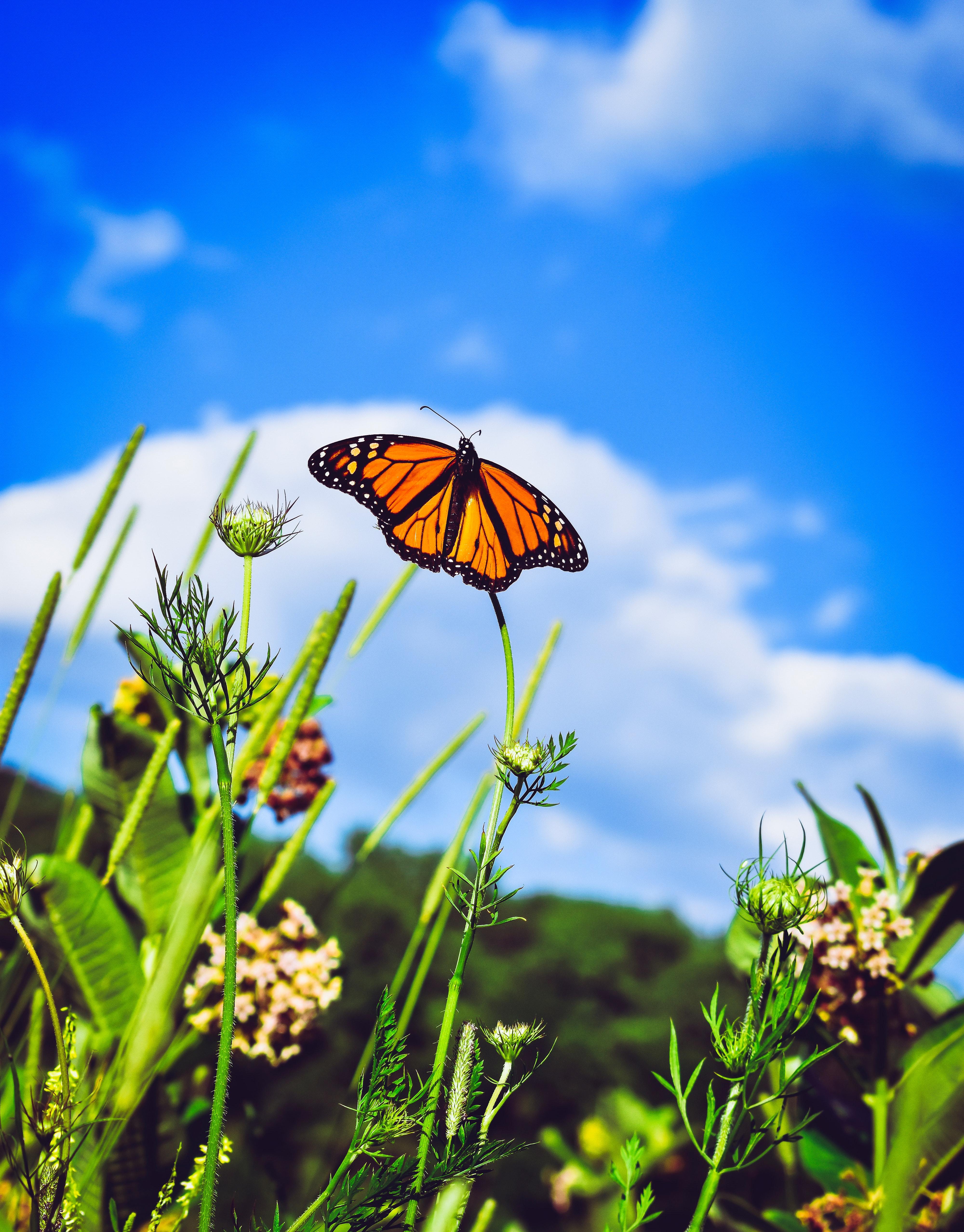 155523 Hintergrundbild herunterladen Patterns, Makro, Nahaufnahme, Schmetterling, Flügel, Danaida-Monarch - Bildschirmschoner und Bilder kostenlos