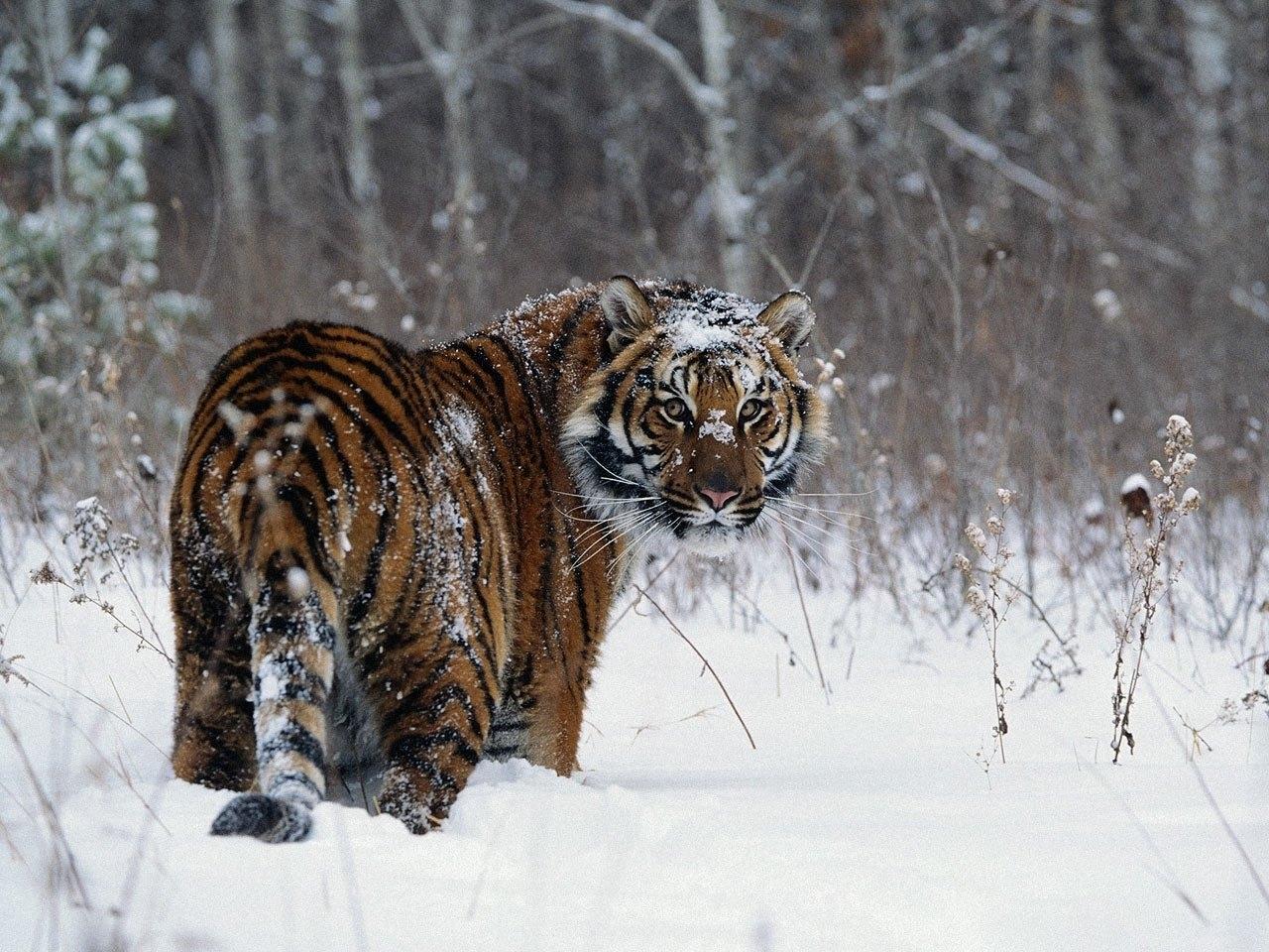 25454 descargar fondo de pantalla Animales, Invierno, Tigres, Nieve: protectores de pantalla e imágenes gratis
