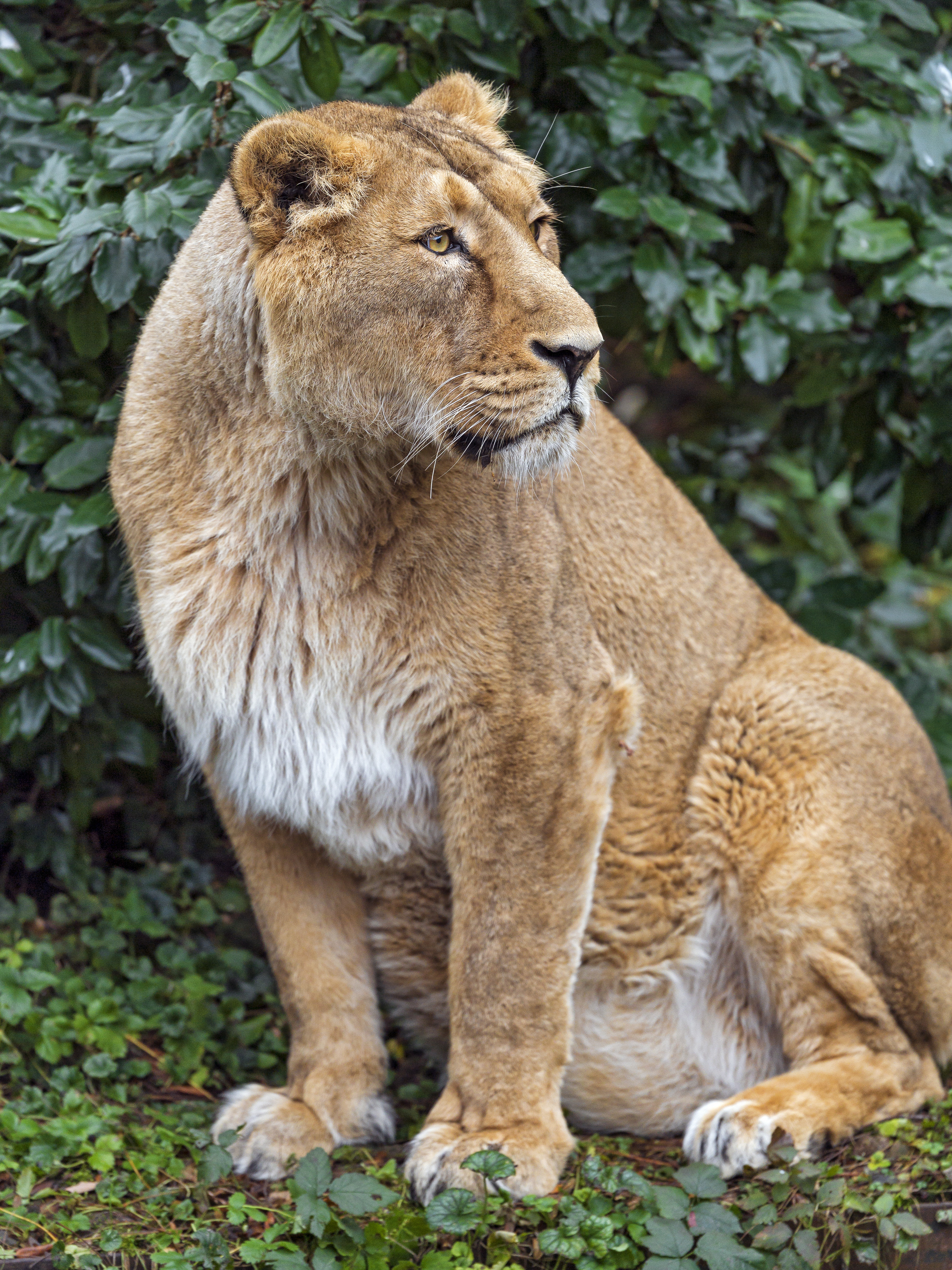 157679 download wallpaper Animals, Lioness, Big Cat, Beast, Predator screensavers and pictures for free
