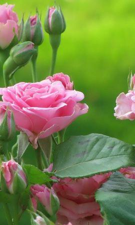 38393 завантажити шпалери Рослини, Квіти, Рози - заставки і картинки безкоштовно