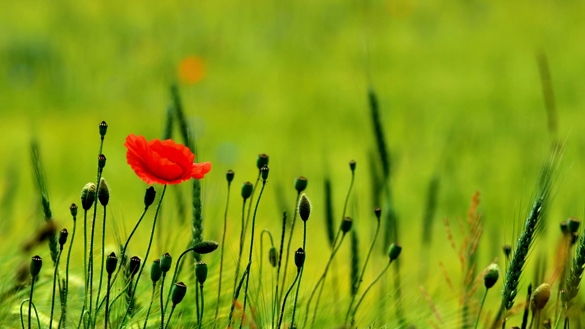 35130 скачать обои Растения, Цветы, Маки - заставки и картинки бесплатно