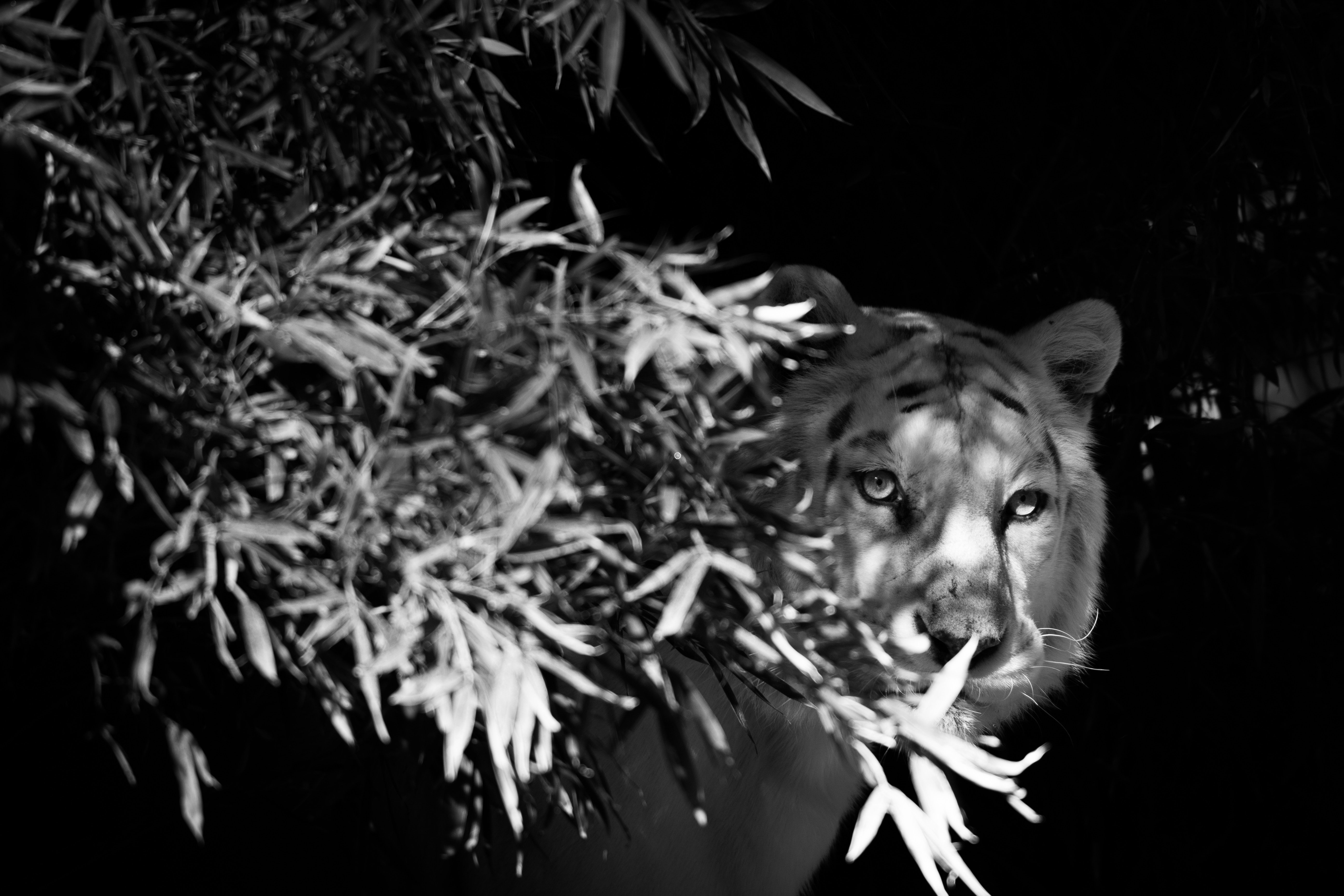 70428 download wallpaper Animals, Tiger, White Tiger, Bw, Chb, Hide, Branches screensavers and pictures for free