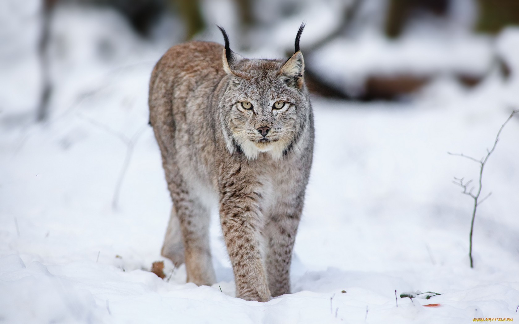 19459 download wallpaper Animals, Winter, Snow, Bobcats screensavers and pictures for free