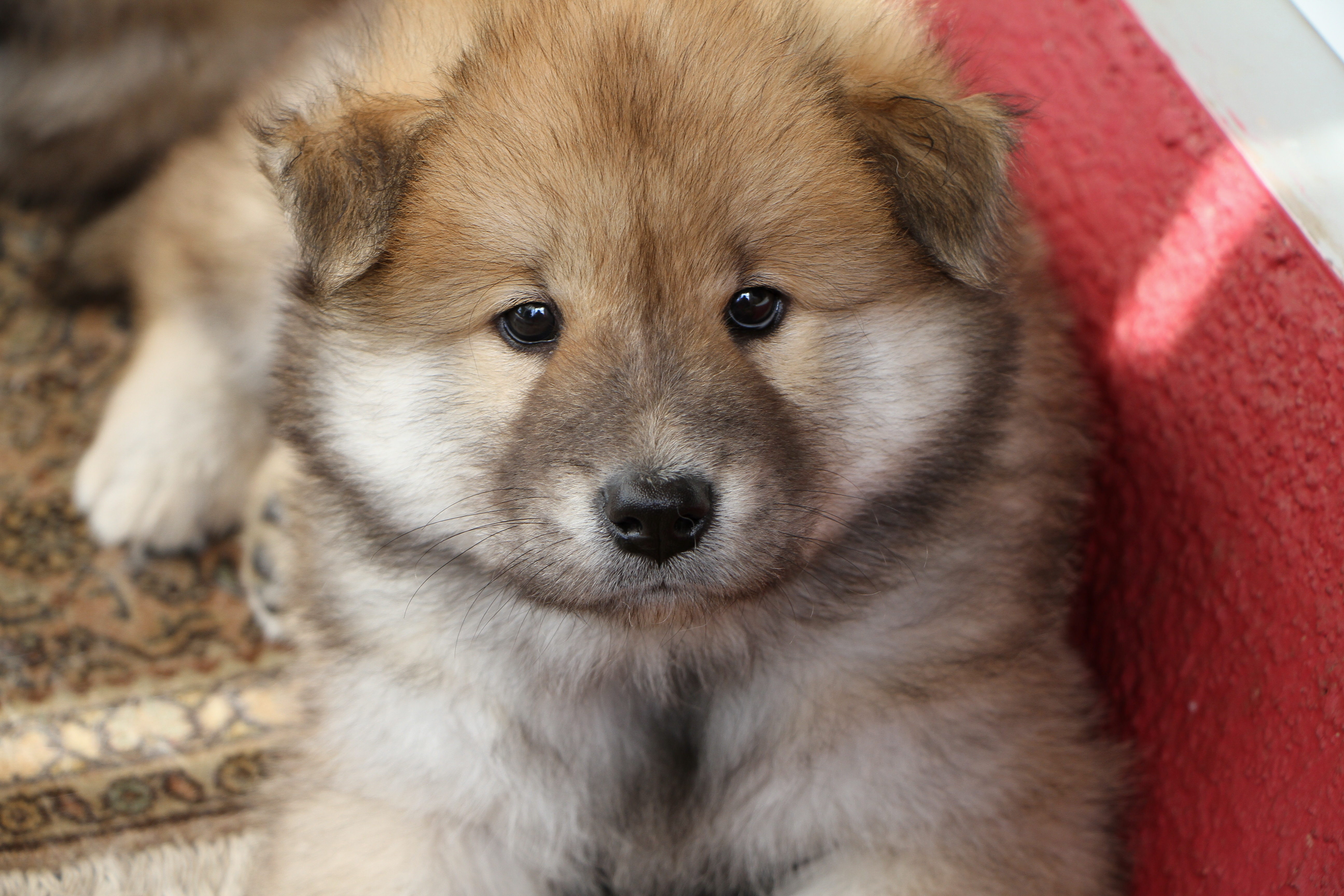 127701 Screensavers and Wallpapers Puppy for phone. Download Animals, Dog, Muzzle, Nice, Sweetheart, Puppy pictures for free