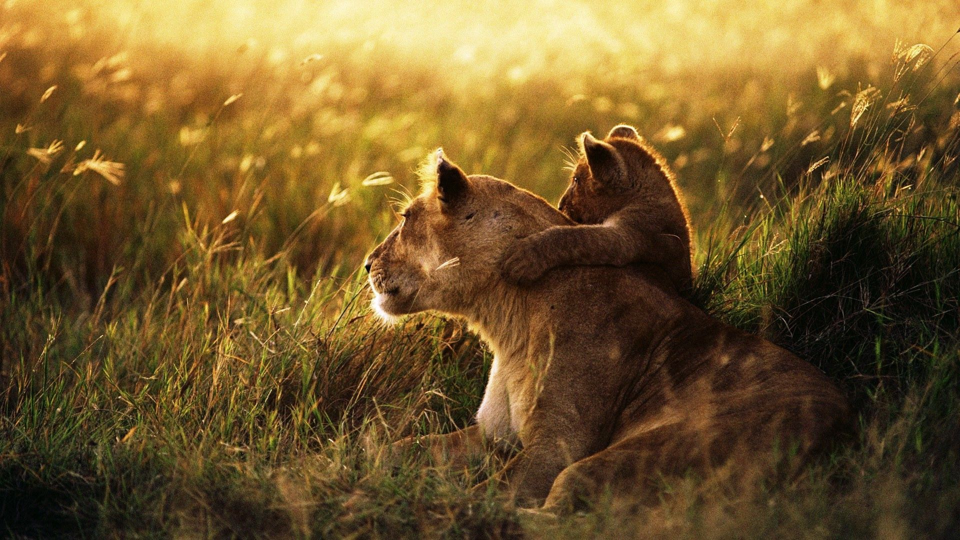 114039 download wallpaper Animals, Young, Lion, Lioness, Family, Kid, Tot, Care, Joey, Sunlight, Lion Cub screensavers and pictures for free