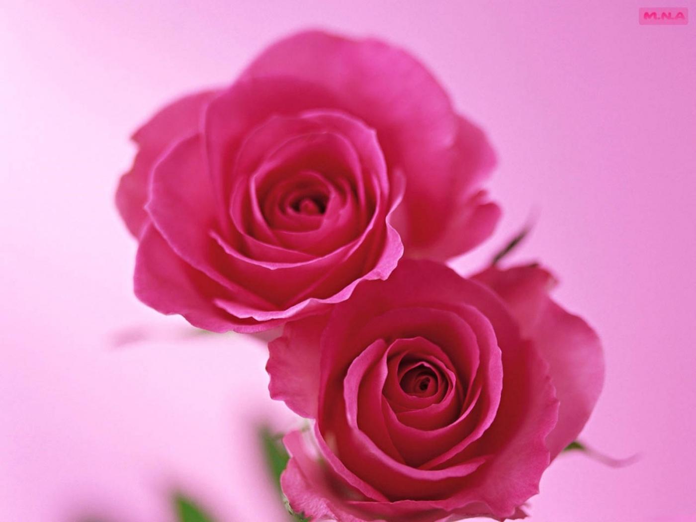 Téléchargez des papiers peints mobile Roses, Plantes, Fleurs gratuitement.