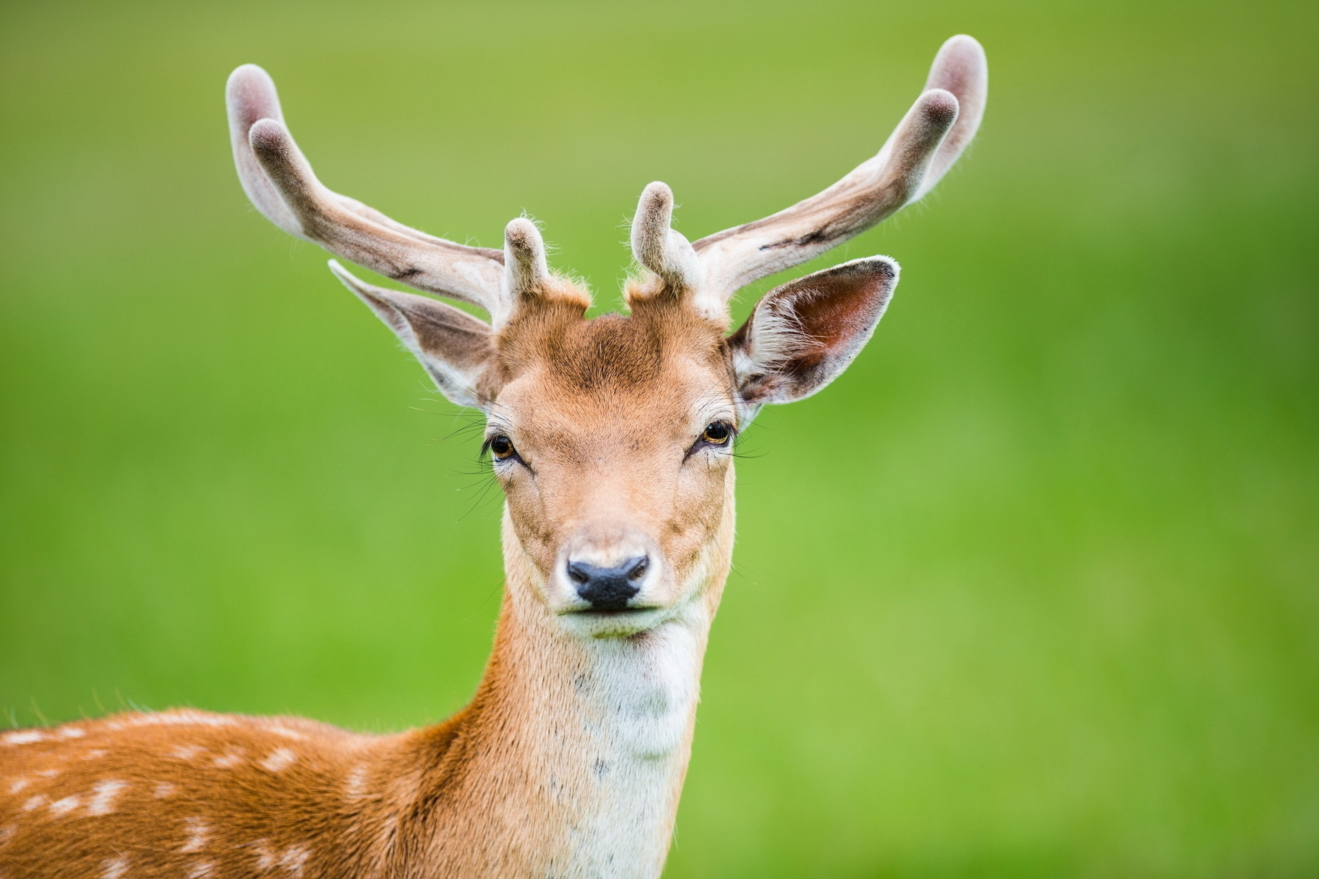 130499 download wallpaper Animals, Deer, Horns, Spotted, Spotty screensavers and pictures for free