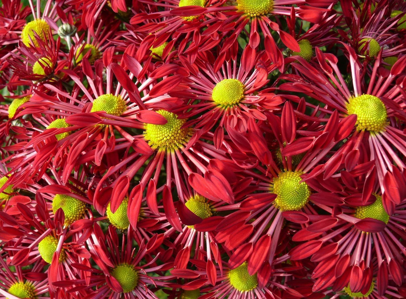 143887 скачать обои Цветы, Лепестки, Яркие, Крупный План, Много - заставки и картинки бесплатно
