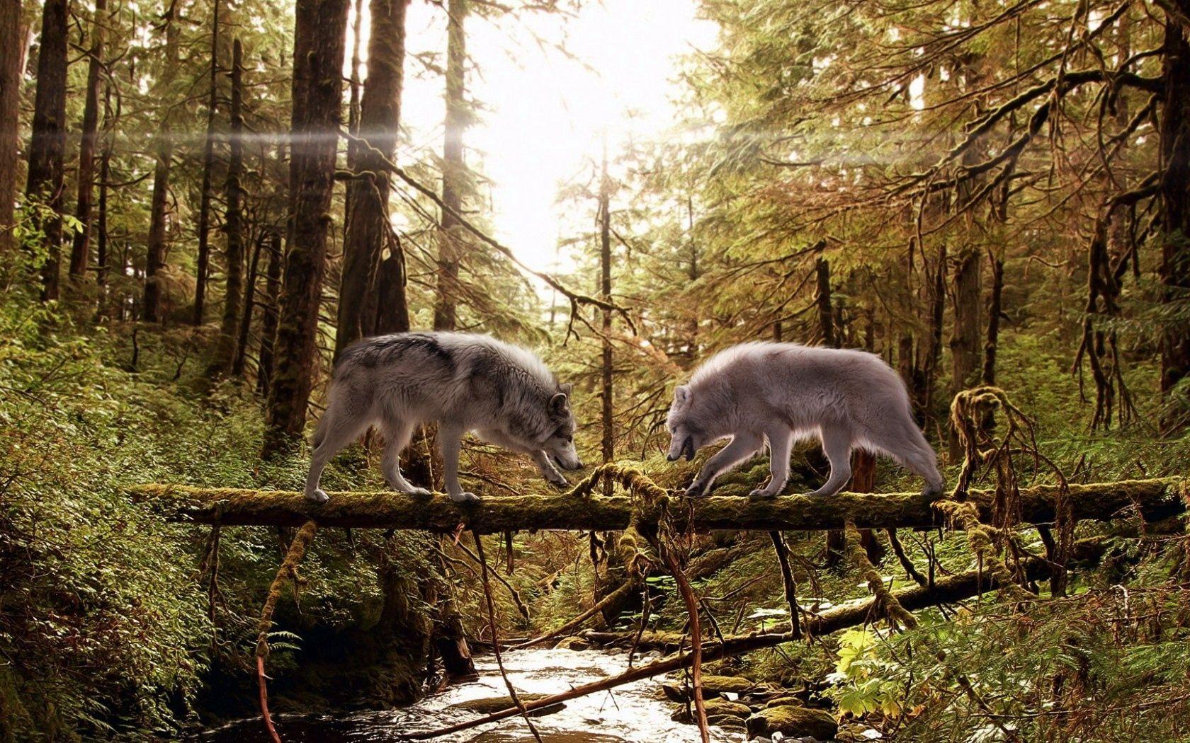 89441 Hintergrundbild herunterladen Wölfe, Tiere, Nadeln, Holz, Wald, Paar, Baum, Moos, Moss, Kofferraum - Bildschirmschoner und Bilder kostenlos
