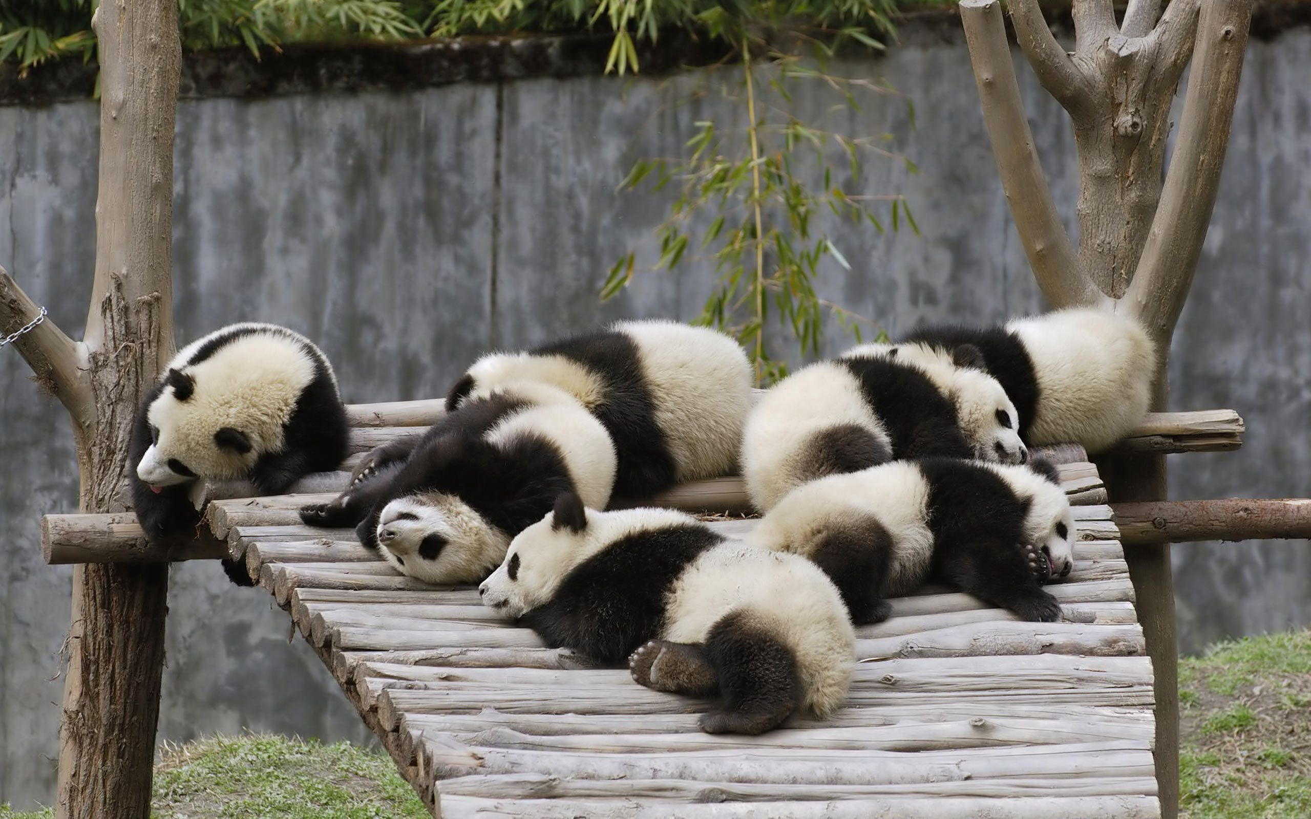 103137 download wallpaper Animals, Lots Of, Multitude, To Lie Down, Lie, Sleep, Dream, Nature, Pandas screensavers and pictures for free