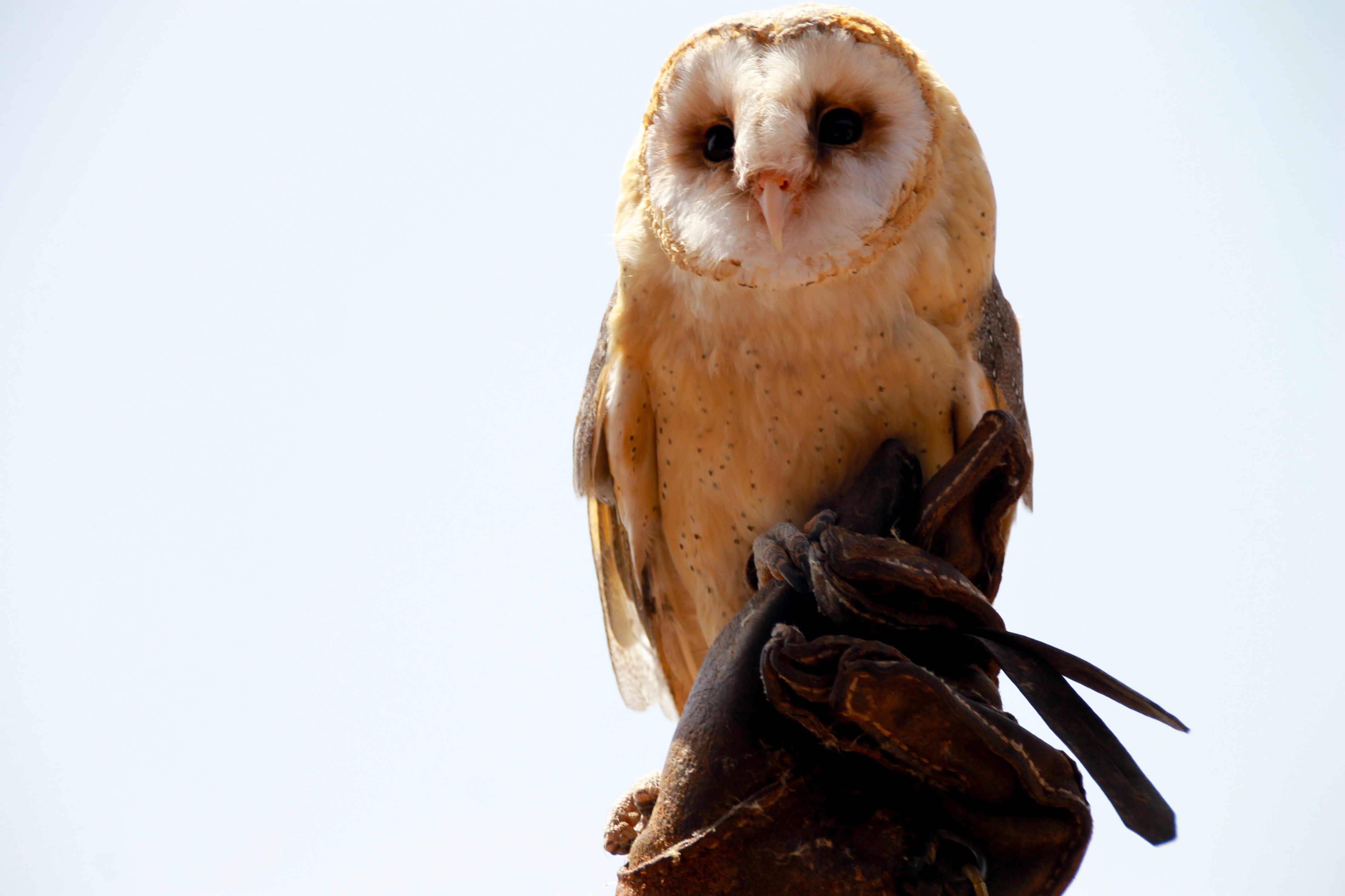 126743 Screensavers and Wallpapers Sit for phone. Download Animals, Owl, Bird, Sit, Predator pictures for free