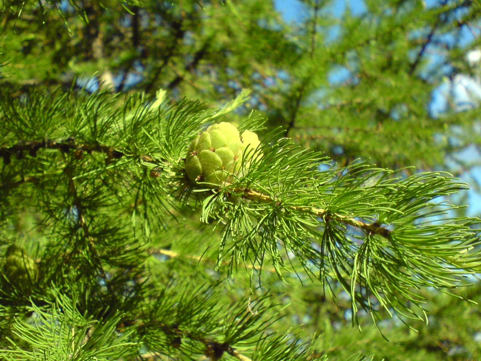 3313 download wallpaper Plants, Trees, Needle, Pine screensavers and pictures for free
