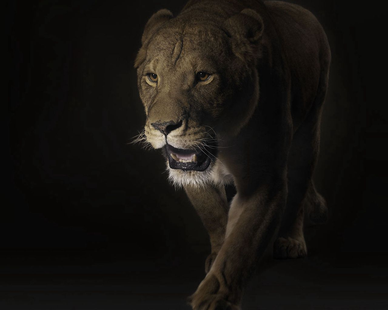 141463 Screensavers and Wallpapers Shadow for phone. Download Animals, Dark, Muzzle, Shadow, Lion, Predator, Big Cat pictures for free