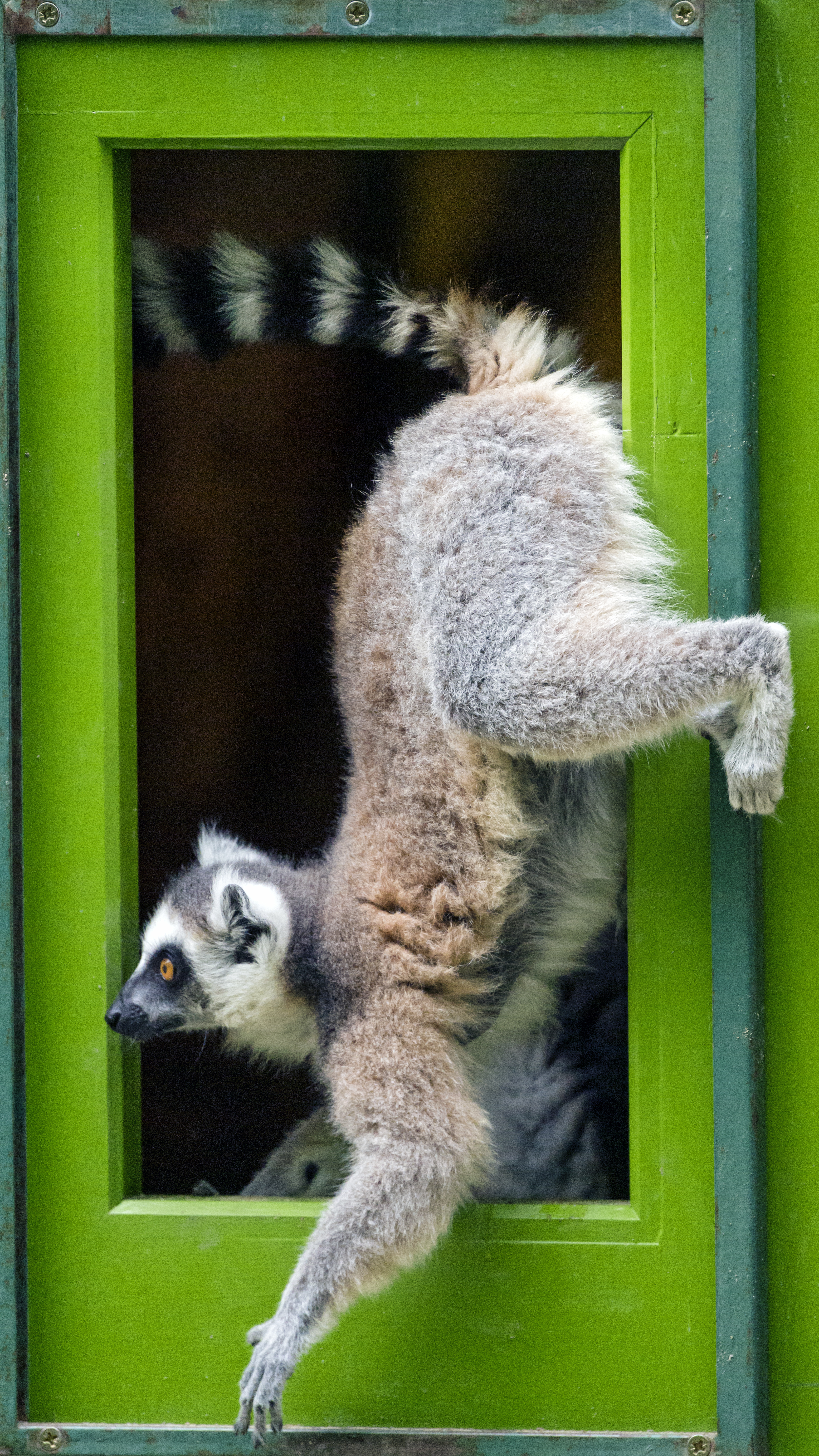 60262 download wallpaper Animals, Lemur, Door, Funny, Animal screensavers and pictures for free