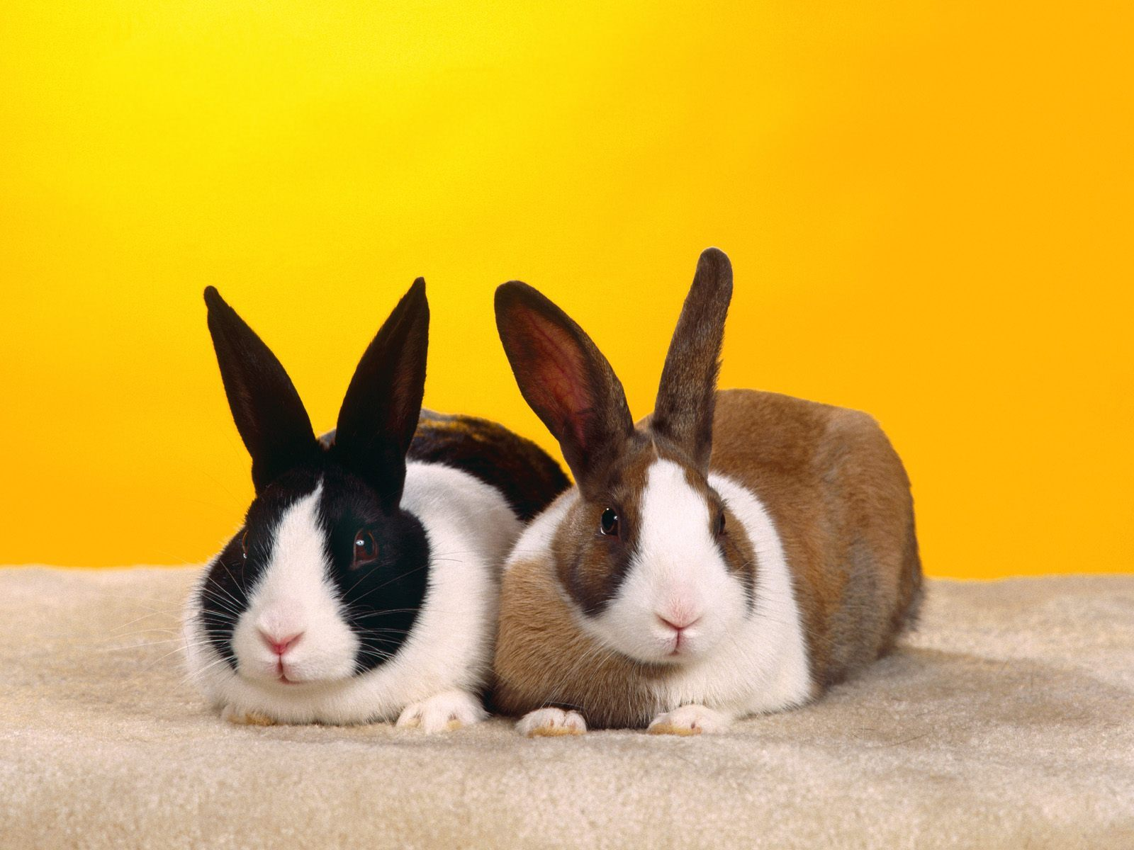 4564 download wallpaper Animals, Rabbits screensavers and pictures for free
