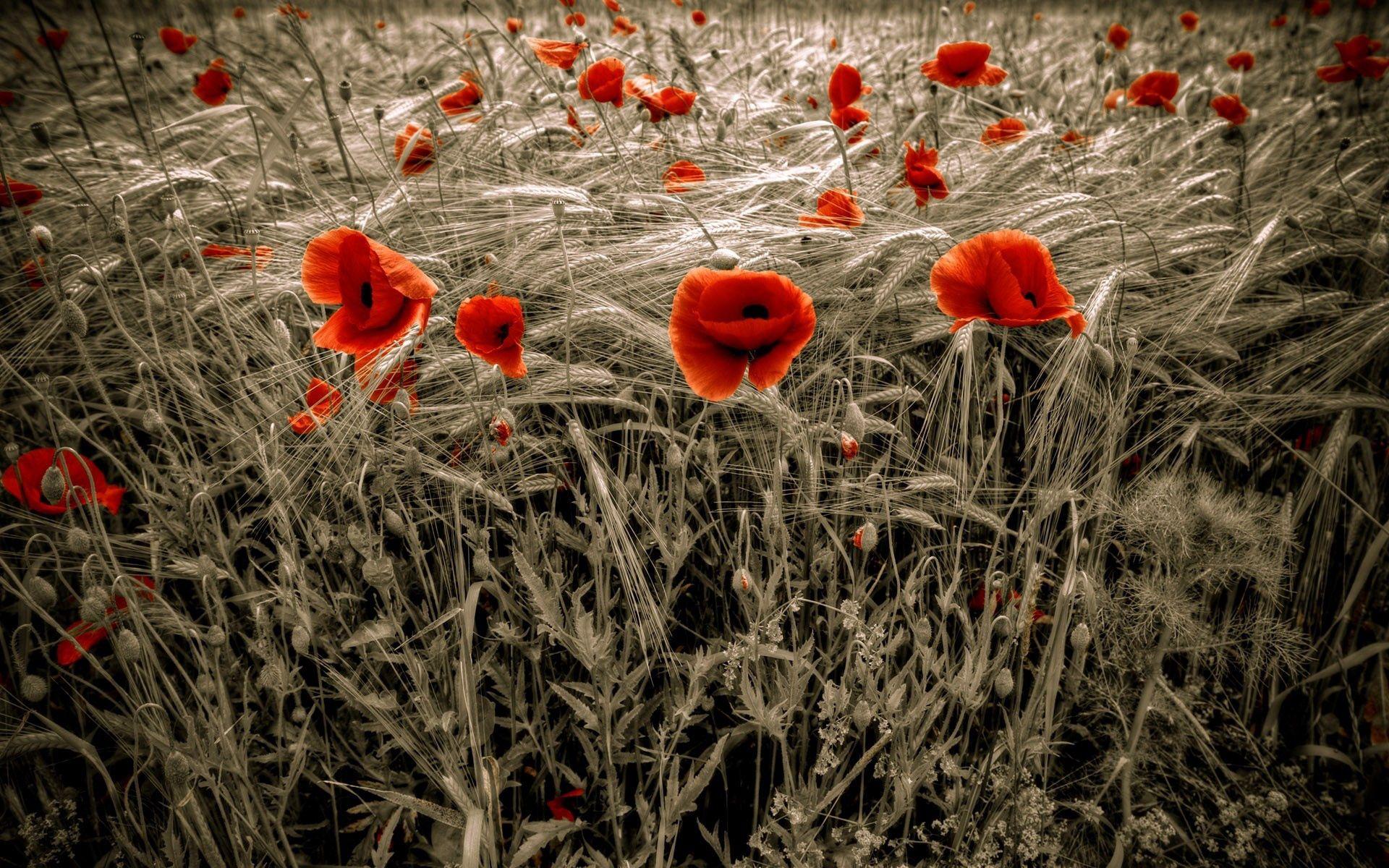 140556 скачать Красные обои на телефон бесплатно, Природа, Цветы, Маки, Поле, Колосья Красные картинки и заставки на мобильный