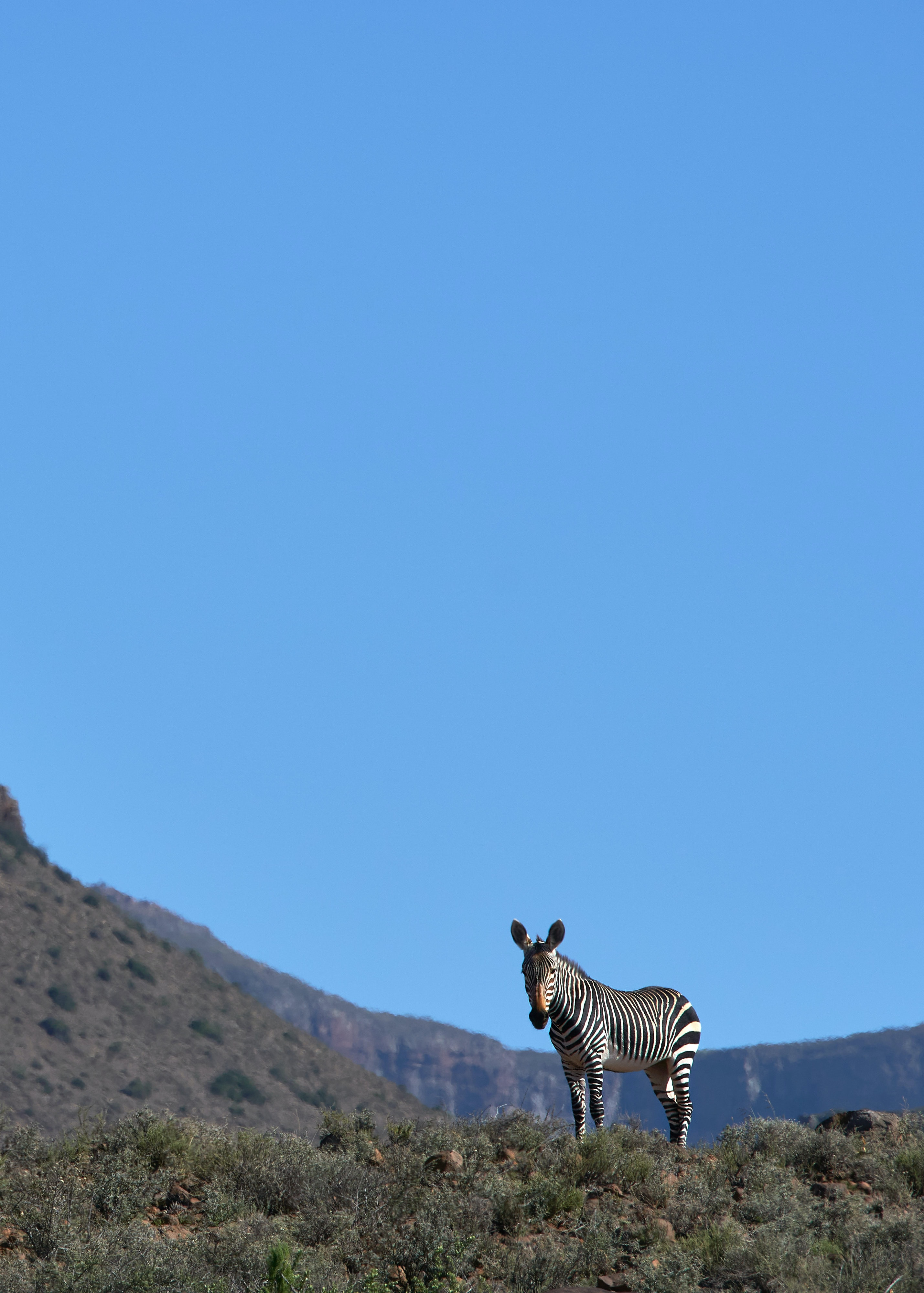 123753 download wallpaper Animals, Zebra, Animal, Grass, Wildlife screensavers and pictures for free