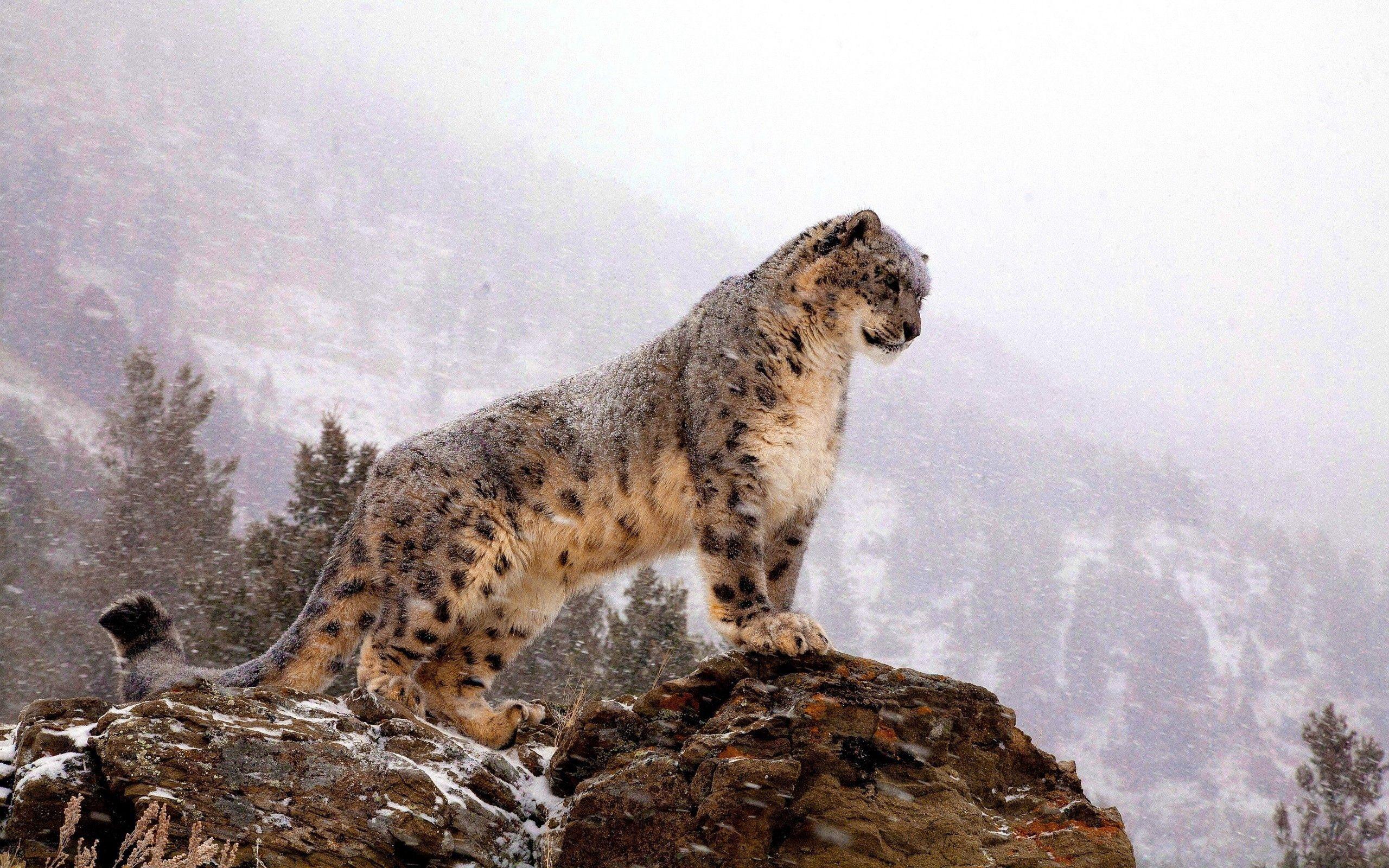 69760 download wallpaper Animals, Vertex, Top, Big Cat, Predator, Snow Leopard screensavers and pictures for free