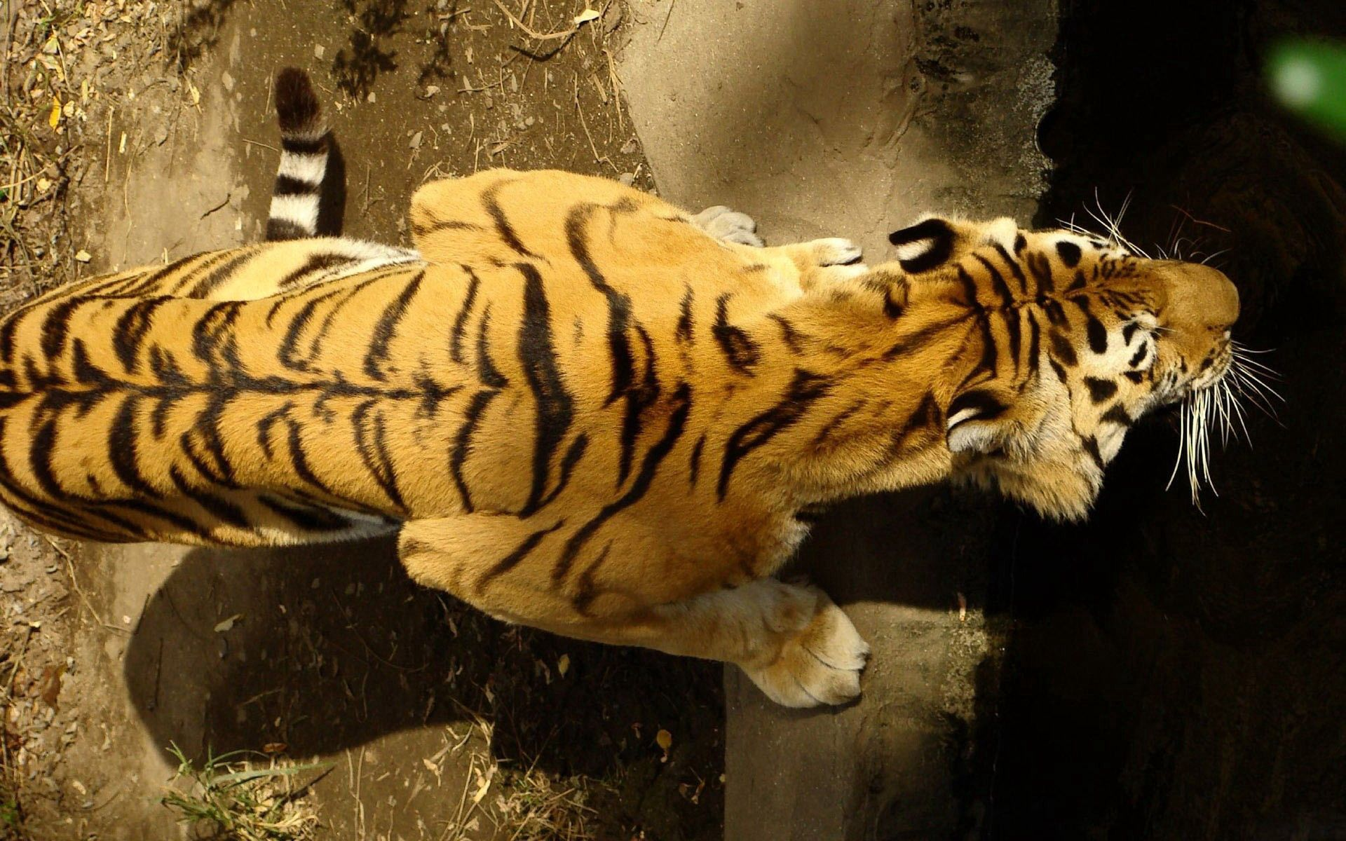 124180 download wallpaper Animals, Tiger, Back, Stripes, Streaks, Water, Hunting, Hunt screensavers and pictures for free