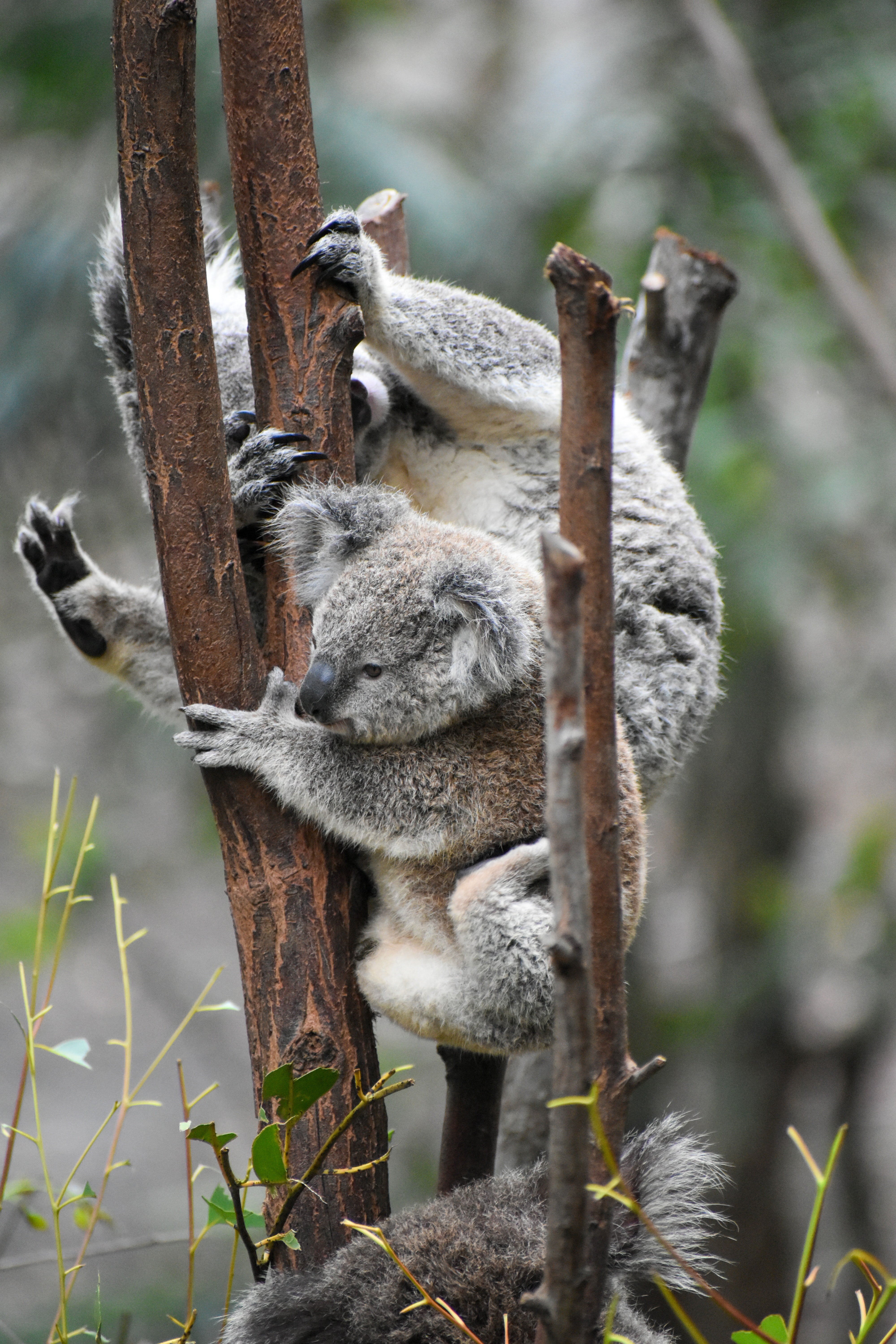56316 download wallpaper Funny, Animals, Koalas, Wood, Tree, Branches, Koala screensavers and pictures for free