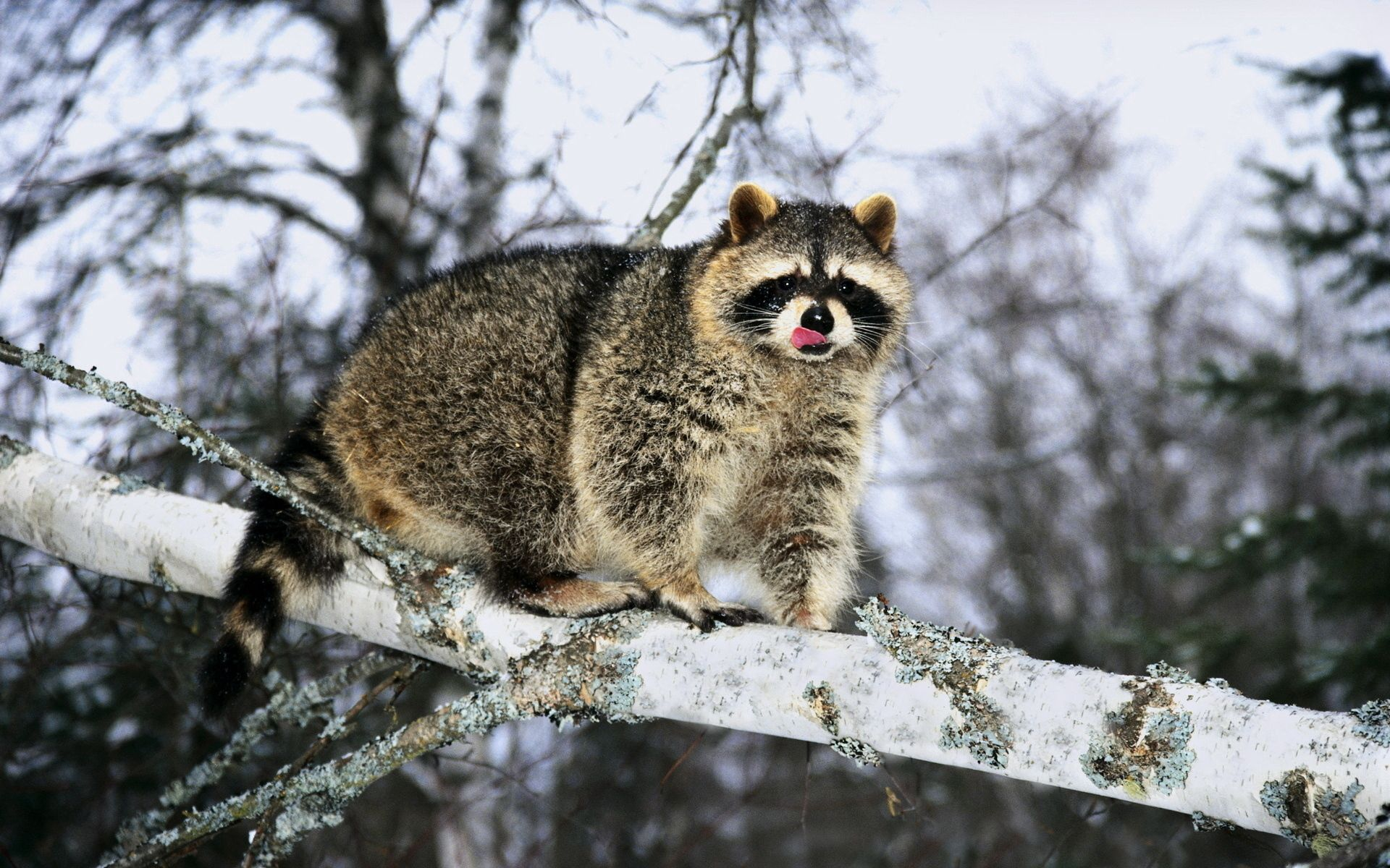 74466 Screensavers and Wallpapers Raccoon for phone. Download Animals, Snow, Branch, Climb, Raccoon pictures for free
