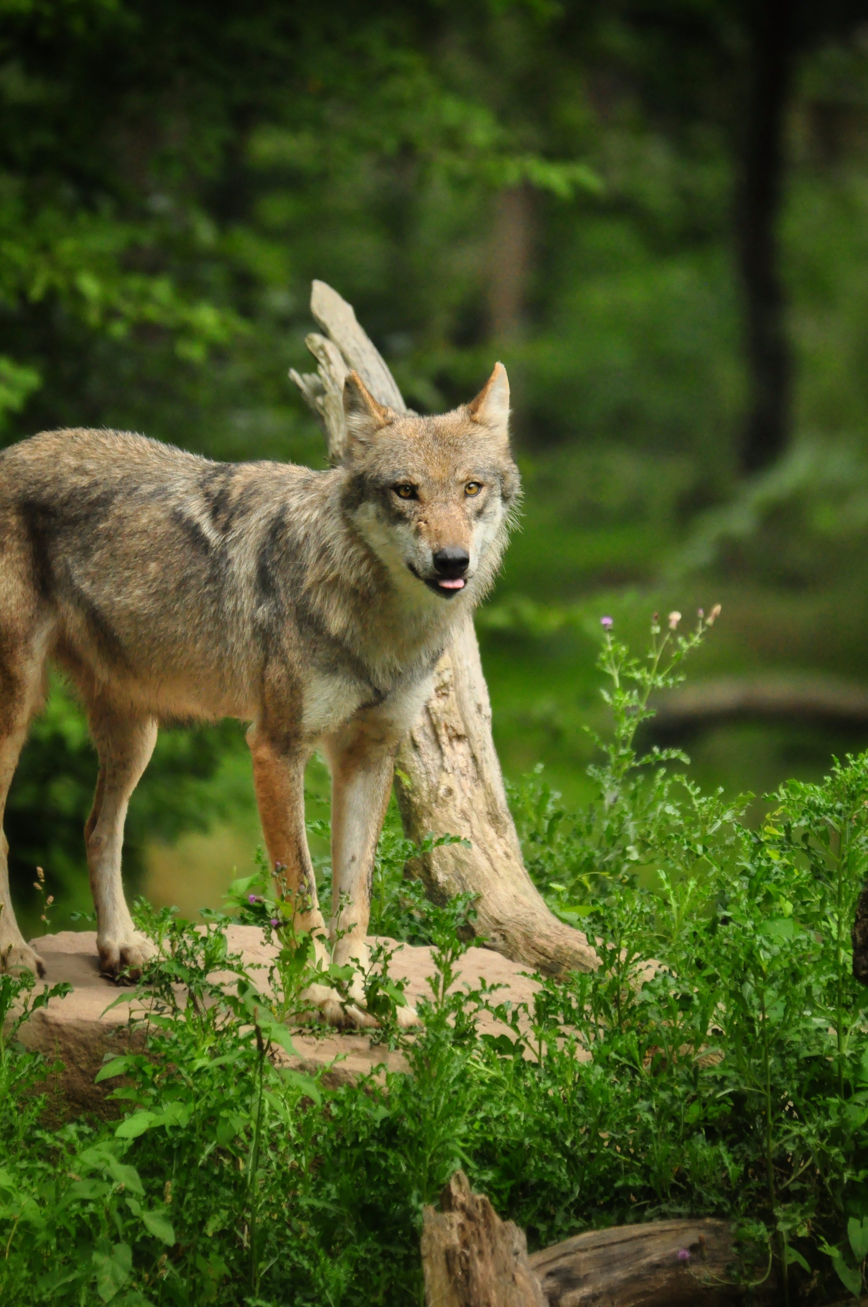 98211 download wallpaper Animals, Wolf, Funny, Protruding Tongue, Tongue Stuck Out, Predator screensavers and pictures for free