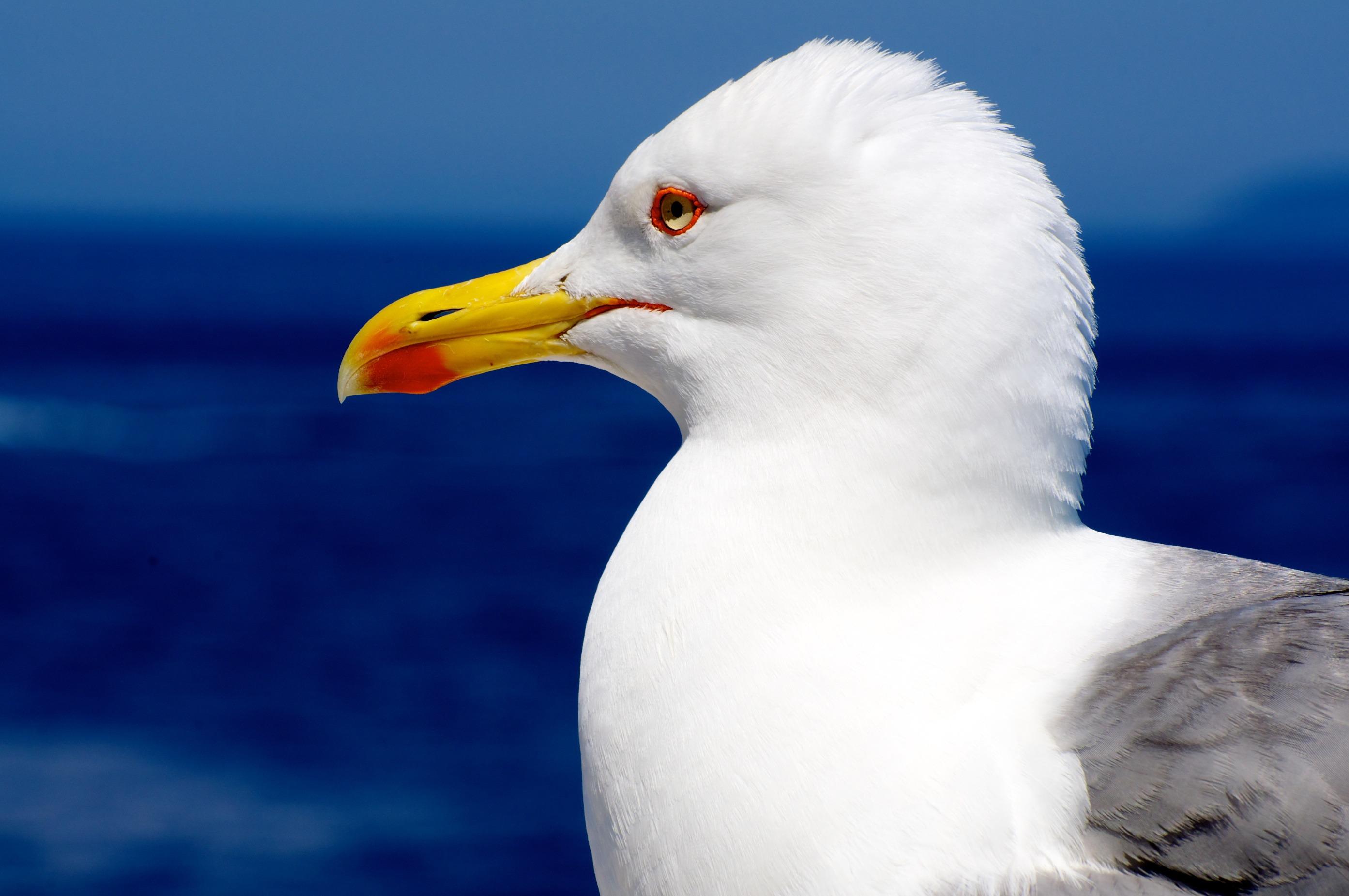 78950 скачать обои Животные, Чайка, Птица, Клюв, Профиль - заставки и картинки бесплатно