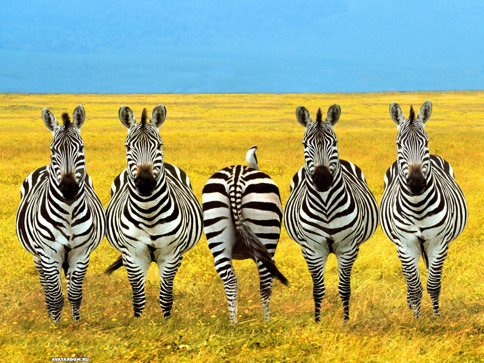 656 download wallpaper Funny, Animals, Zebra screensavers and pictures for free