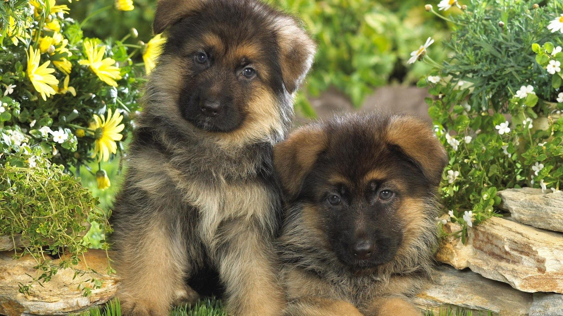 101235 download wallpaper Animals, Dogs, Grass, Couple, Pair, Fur, Puppies screensavers and pictures for free