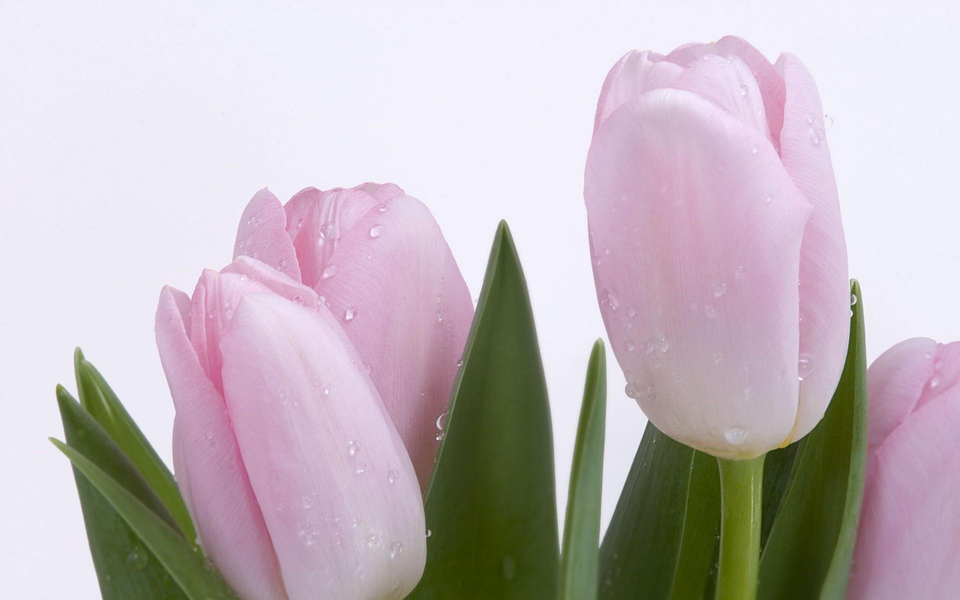 7411 скачать обои Растения, Цветы, Тюльпаны - заставки и картинки бесплатно