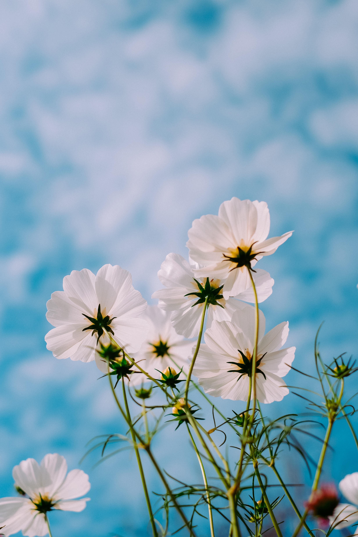 106268 Hintergrundbild herunterladen Blumen, Sommer, Sky, Blütenblätter, Kosmeya, Kosmos - Bildschirmschoner und Bilder kostenlos