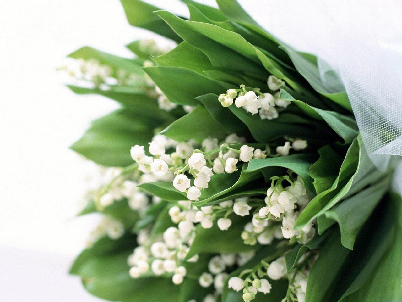36019 Hintergrundbild herunterladen Pflanzen, Blumen, Maiglöckchen - Bildschirmschoner und Bilder kostenlos