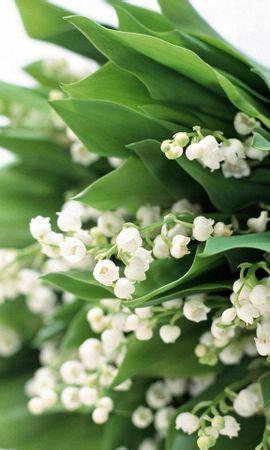 36019 скачать обои Растения, Цветы, Ландыши - заставки и картинки бесплатно