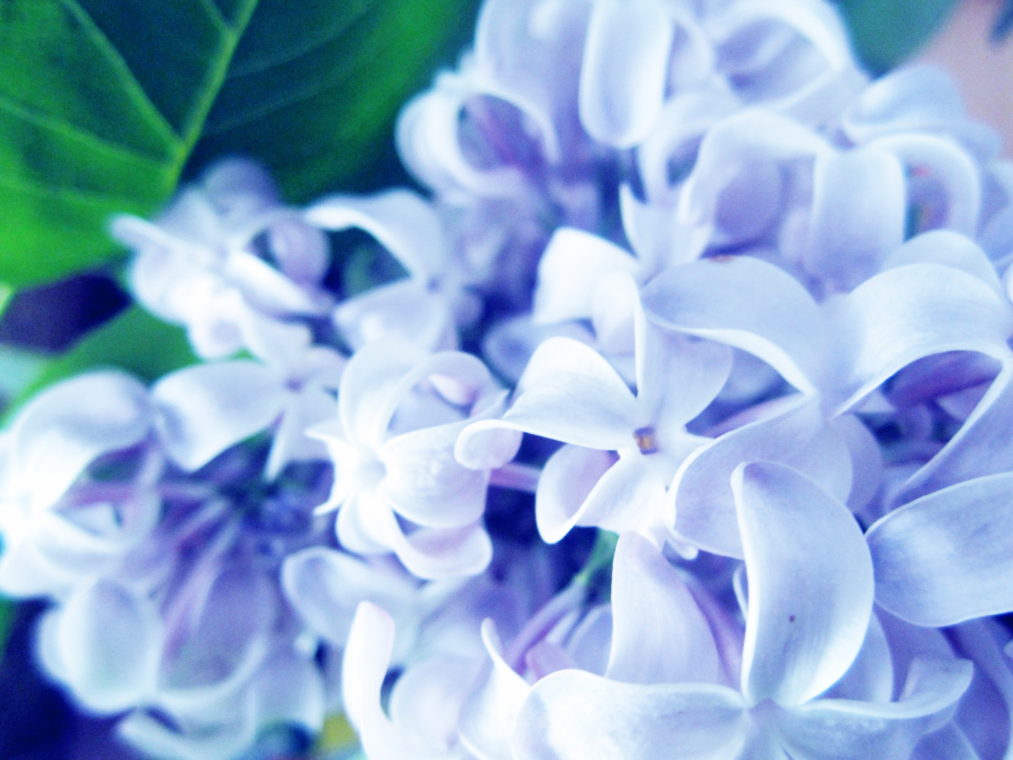 70711 download wallpaper Flowers, Lilac, Plant, Macro screensavers and pictures for free