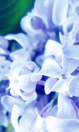70711 télécharger le fond d'écran Macro, Lilas, Plante, Planter, Fleurs - économiseurs d'écran et images gratuitement