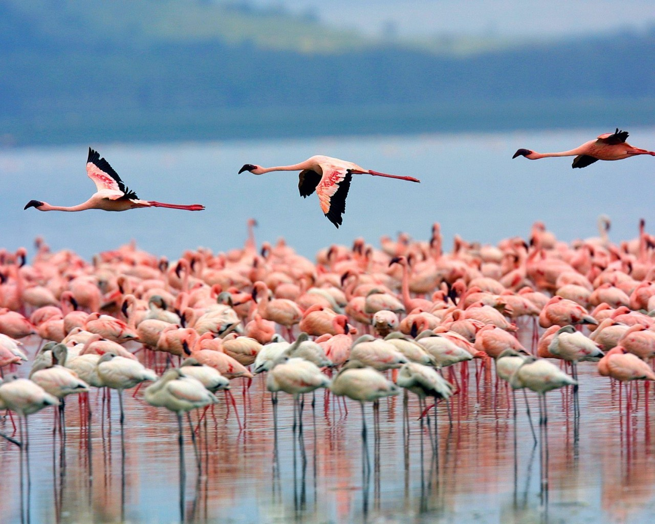 5520 download wallpaper Animals, Birds, Flamingo screensavers and pictures for free