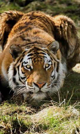 127617 免費下載壁紙 动物, 老虎, 虎, 捕食者, 草 屏保和圖片