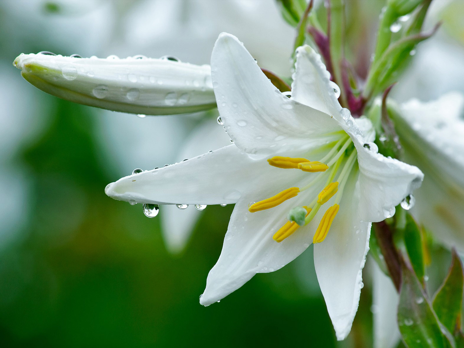 14903 скачать обои Растения, Цветы, Лилии - заставки и картинки бесплатно