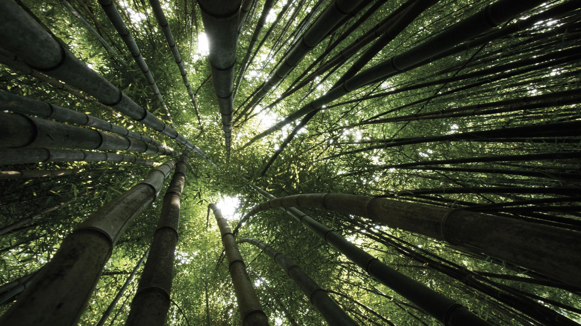 142273 download wallpaper Nature, Bamboo, Trees, Crowns, Crown, From Below screensavers and pictures for free
