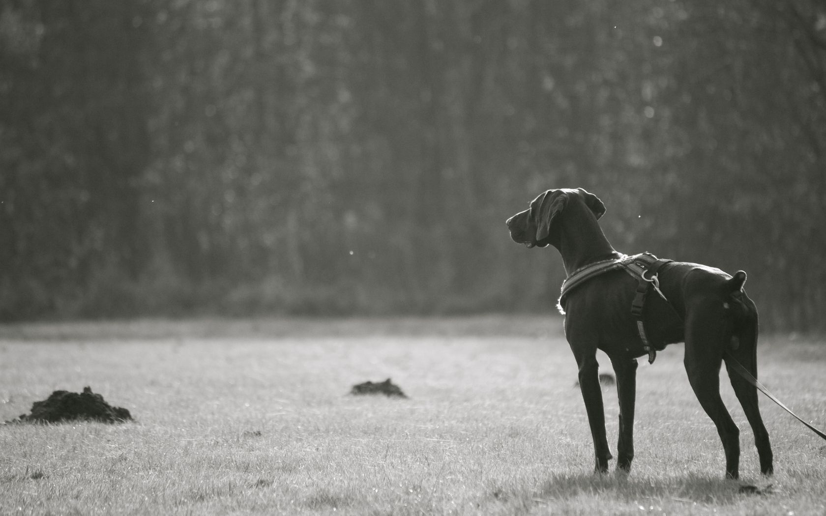 74239 download wallpaper Animals, Dog, Stroll, Breed, Dark, Bw, Chb screensavers and pictures for free