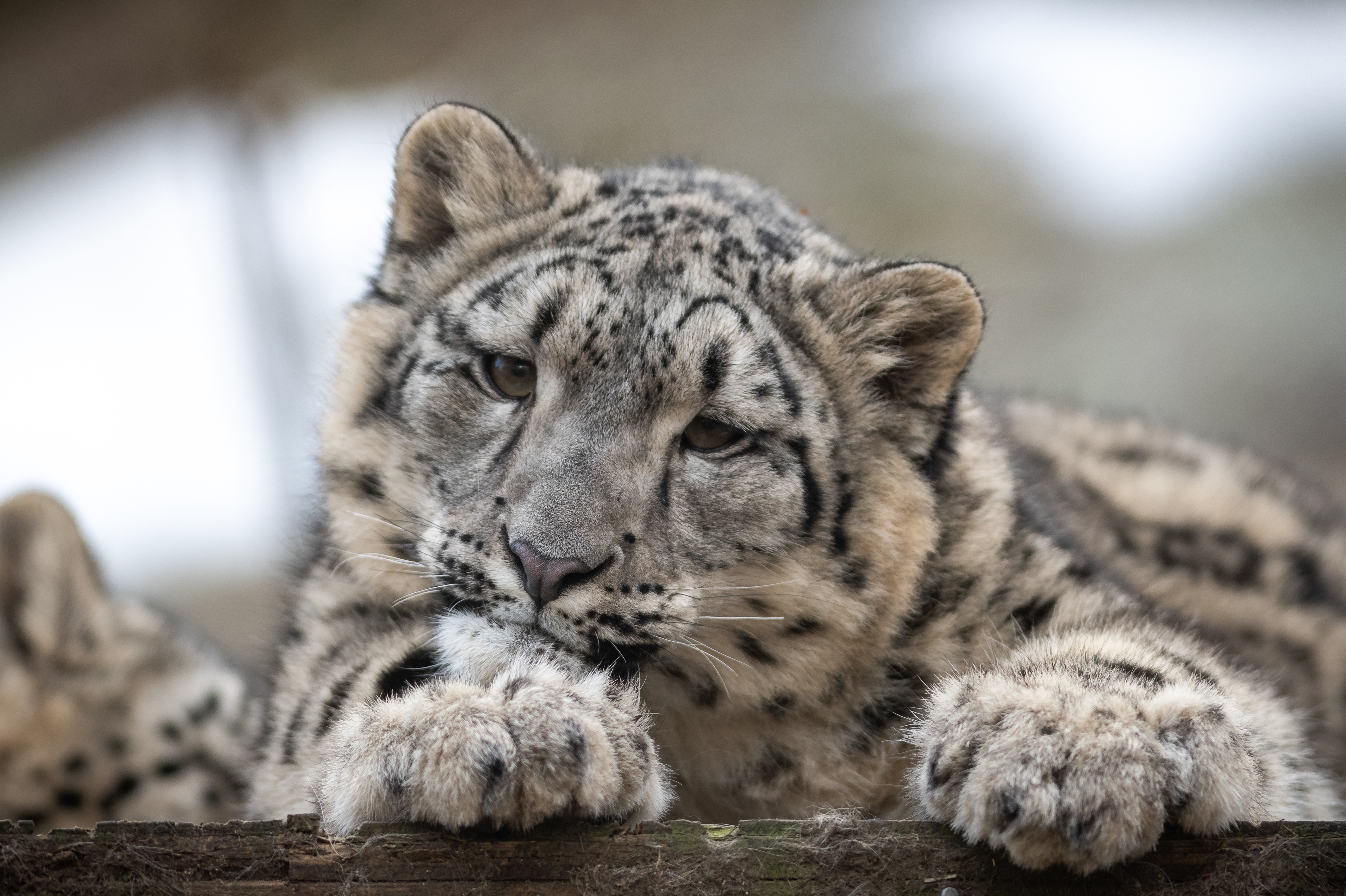 149188 download wallpaper Animals, Snow Leopard, Leopard, Young, Joey, Predator, Spotted, Spotty, Wildlife screensavers and pictures for free